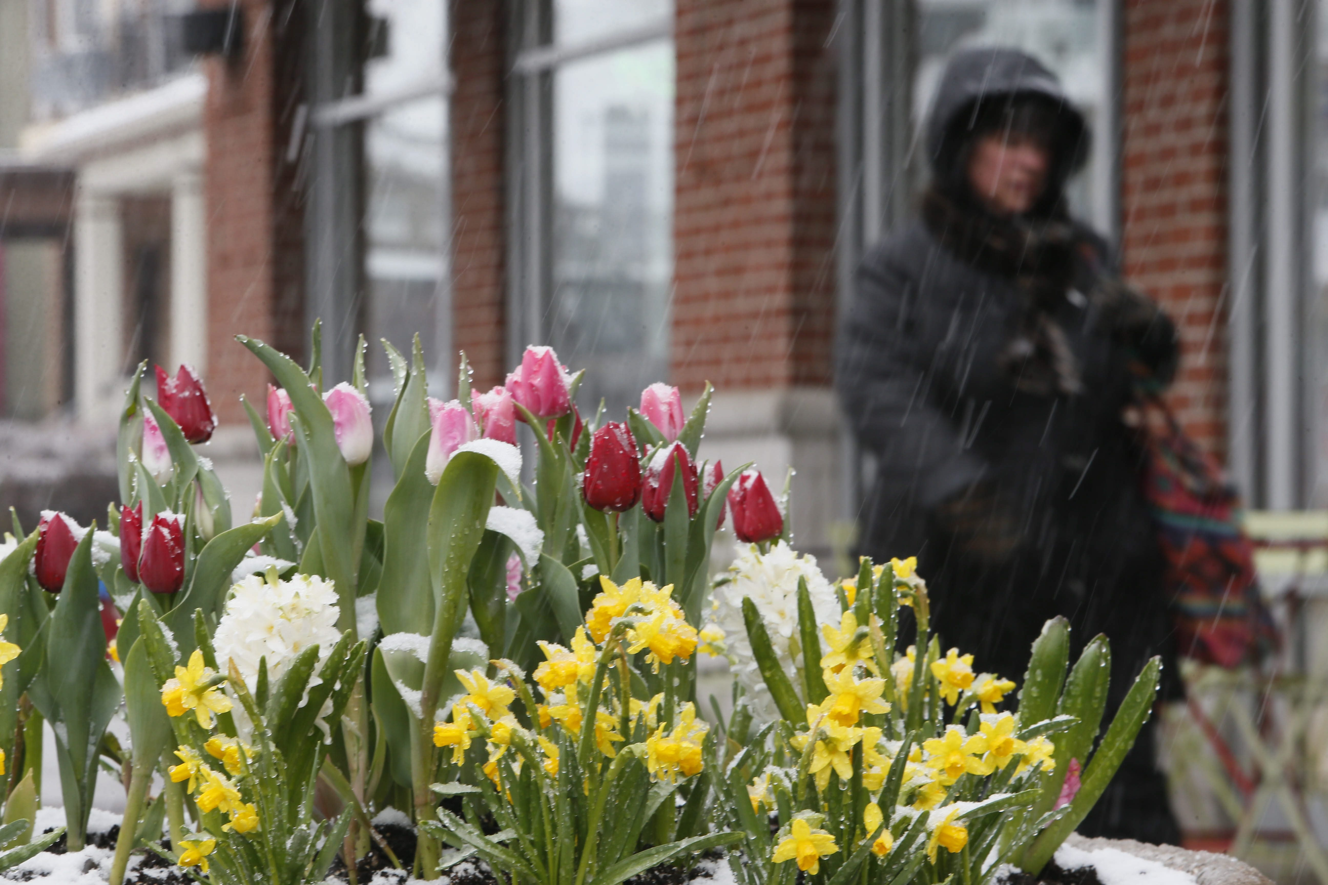 Brightly colored spring flowers in a planter on Elmwood Avenue collect snow, Tuesday, April 15, 2014.  (Derek Gee/Buffalo News)