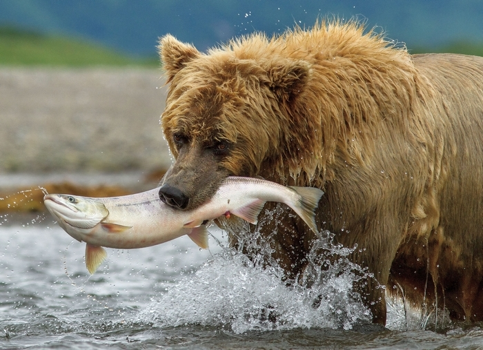 """In a scene from """"Bears,"""" a grizzly in the Alaska wilderness catches dinner. (Associated Press)"""