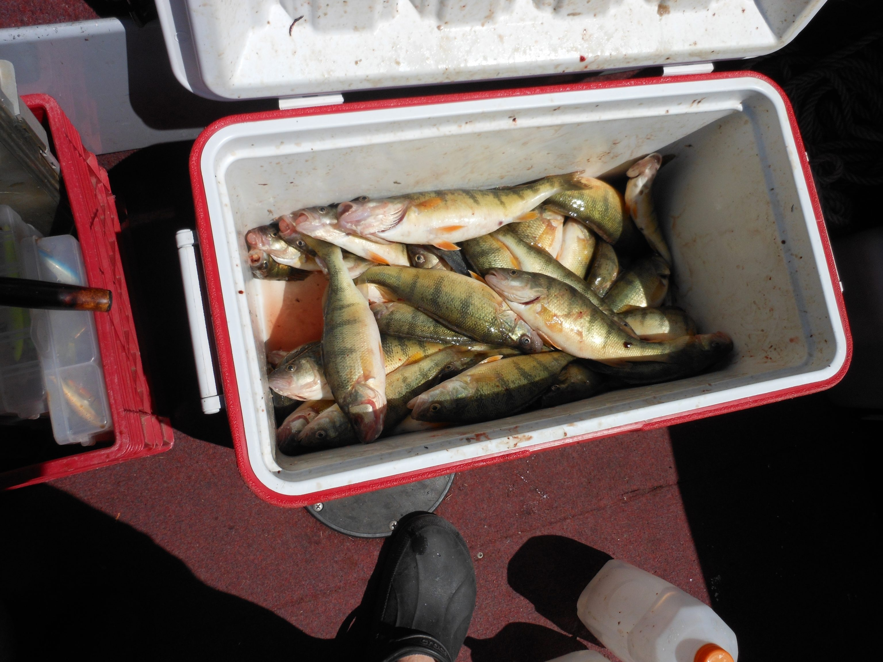 A cooler of yellow perch can be a fun find in Lake Erie waters right now, but it takes some reconnaissance.