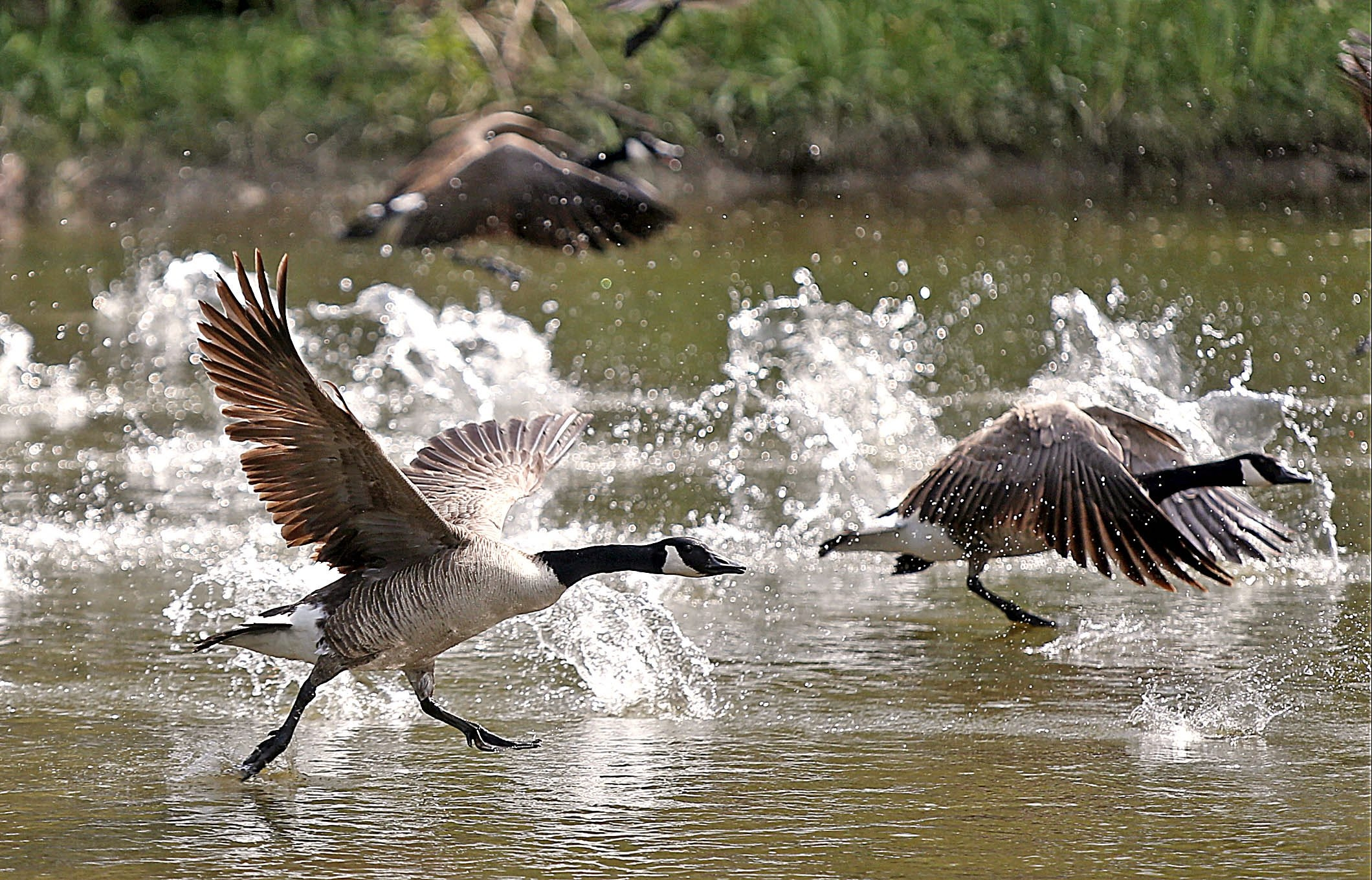 Canada geese take flight at Audubon in Amherst, where Borders on Patrol is in the chase to help keep the town golf course tidy.