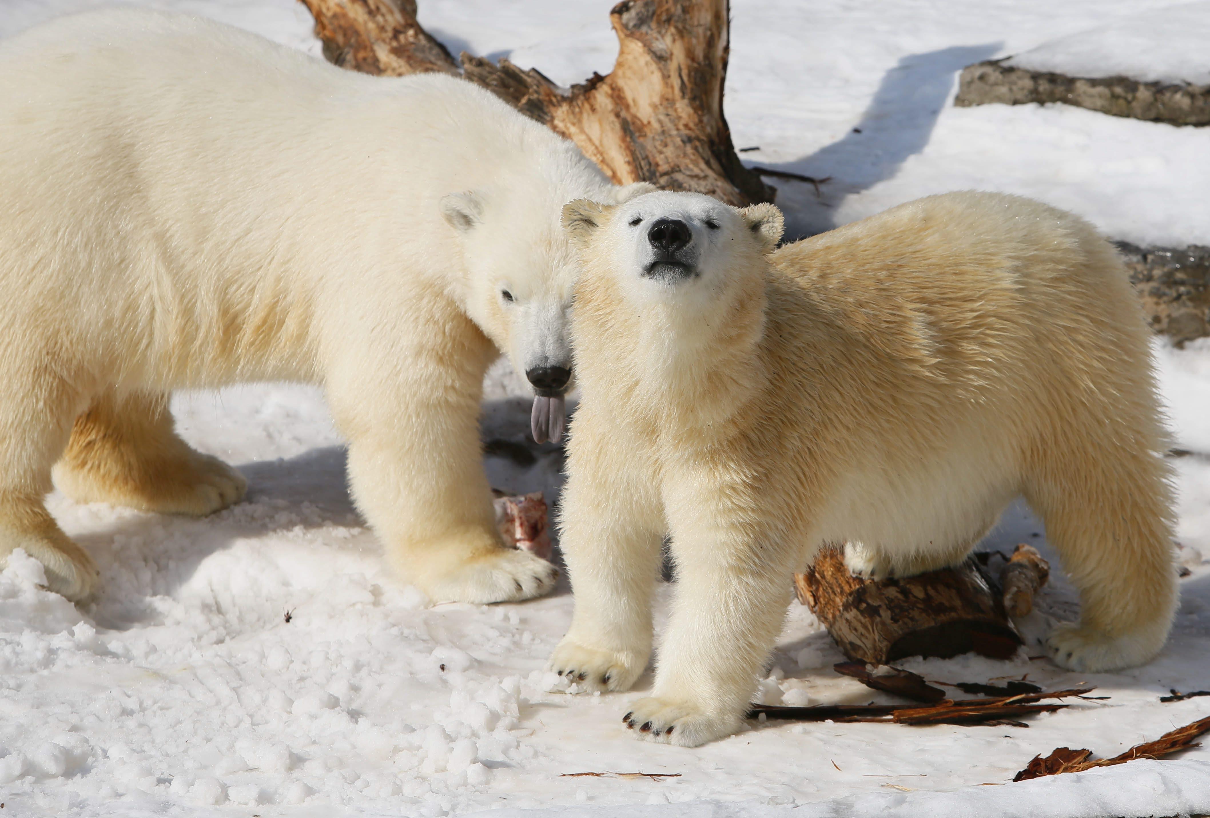 Polar bear cubs Kali, left, and Luna, will make an appearance at BuffaLoveFest. (Derek Gee/Buffalo News)