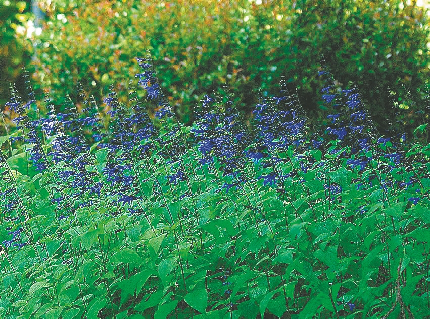 Black and Blue salvia can reach 4 to 5 feet in height, so consider the back of the border for its location.