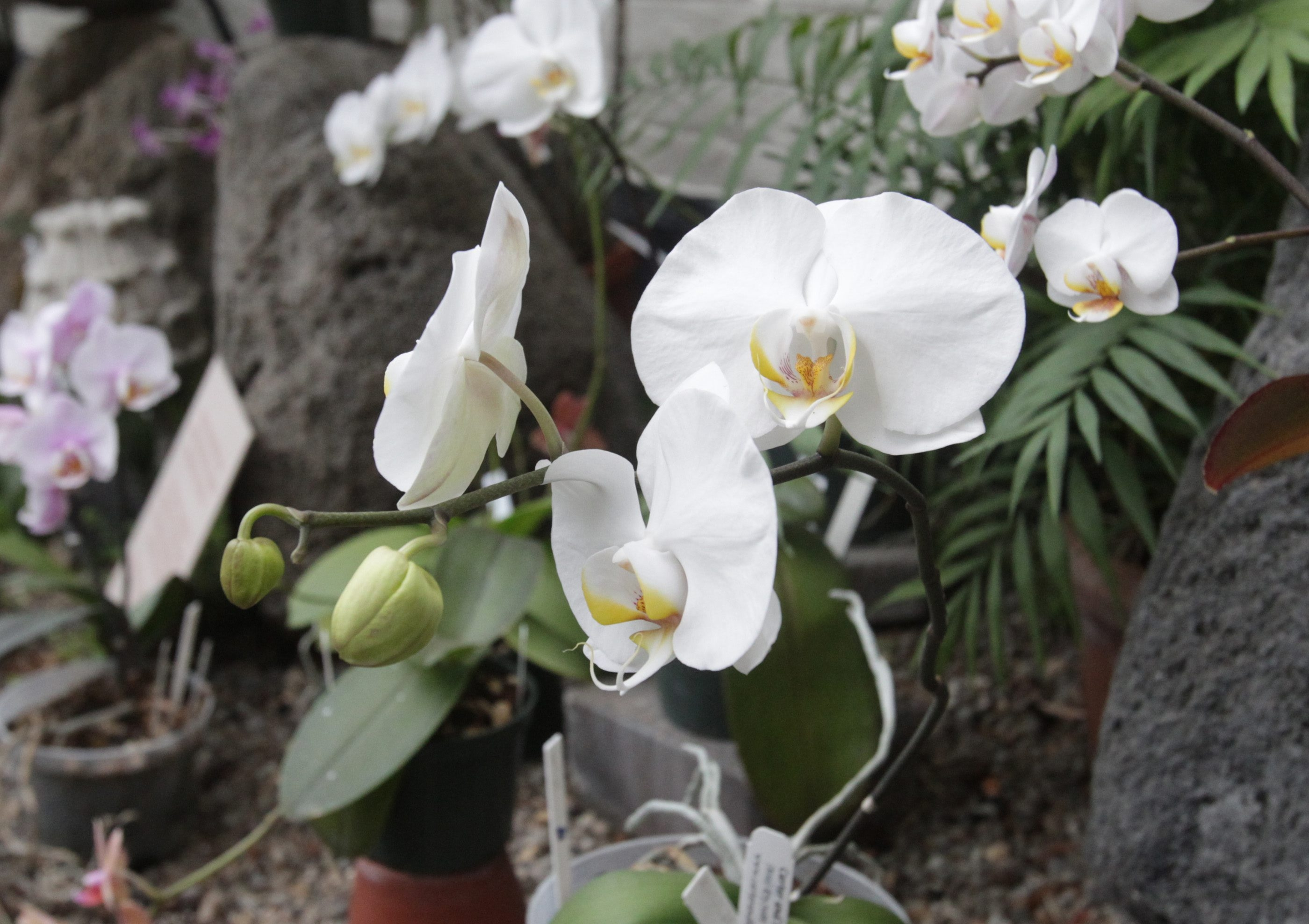 Amherst Garden Club will learn about orchids.