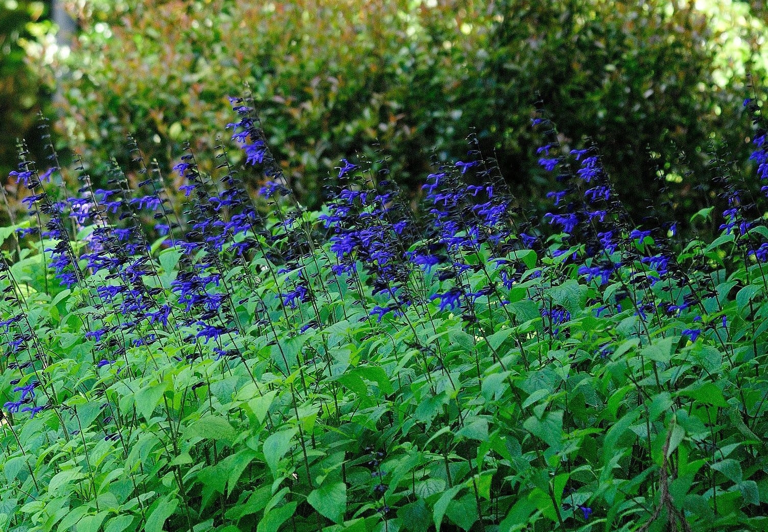 The Black and Blue salvia can reach 4 to 5 feet in height so consider the back of the border for its location.