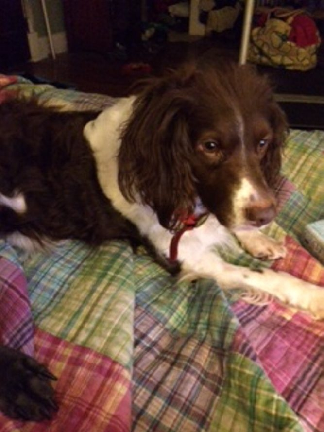 Rescue dog Rosie Mae, a Brittany spaniel, has been missing since May 9.