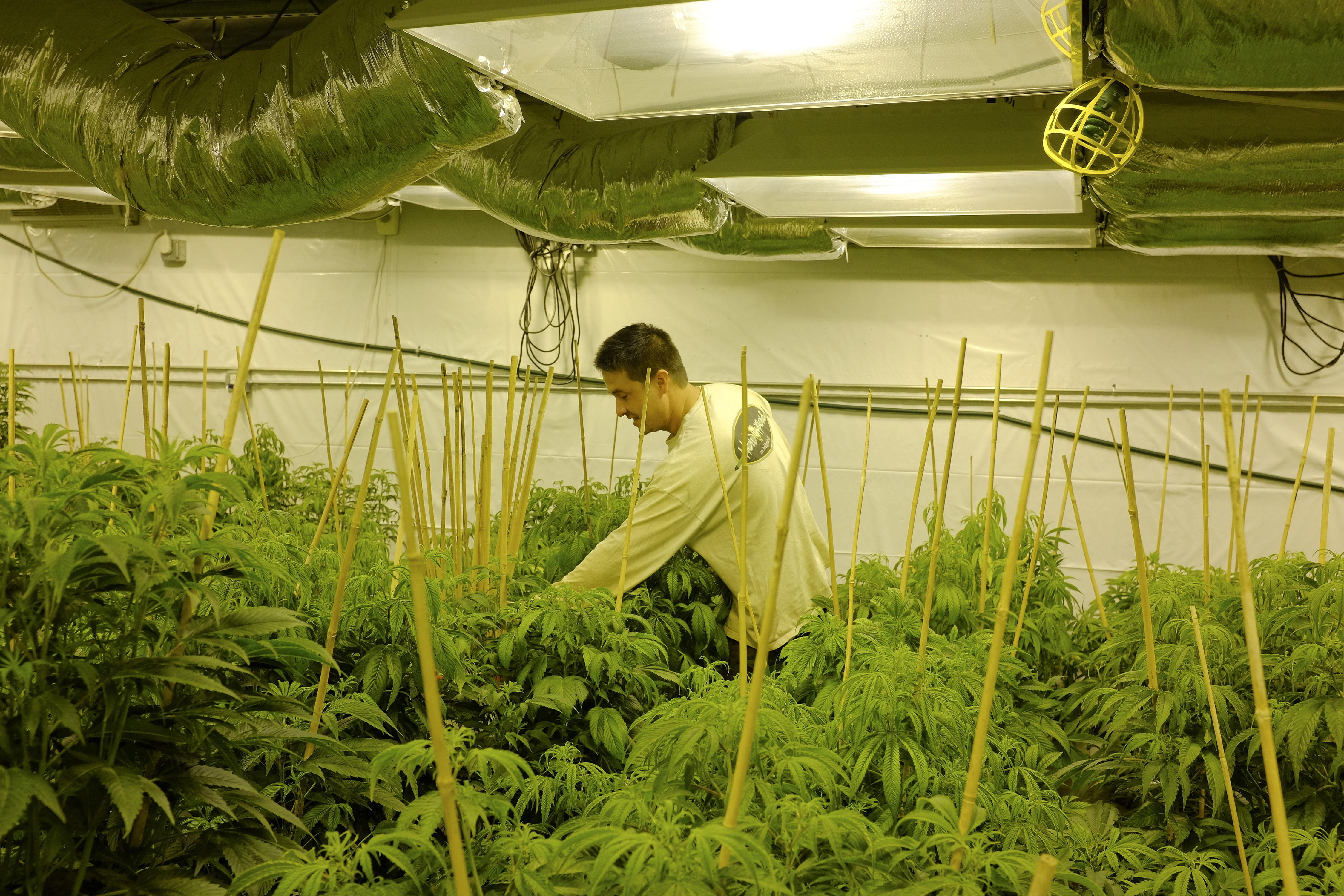 Restrictions placed on medical marijuana in New York mean it will be some time before growing operations like this one in Colorado set up operations in New York. (New York Times photo)