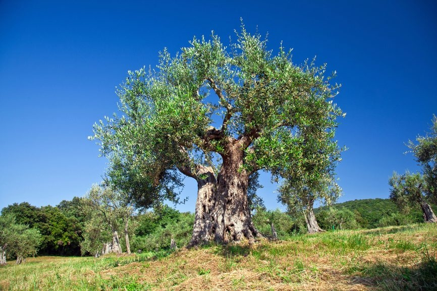 An old olive tree in Tuscany. Italians love their olive trees.