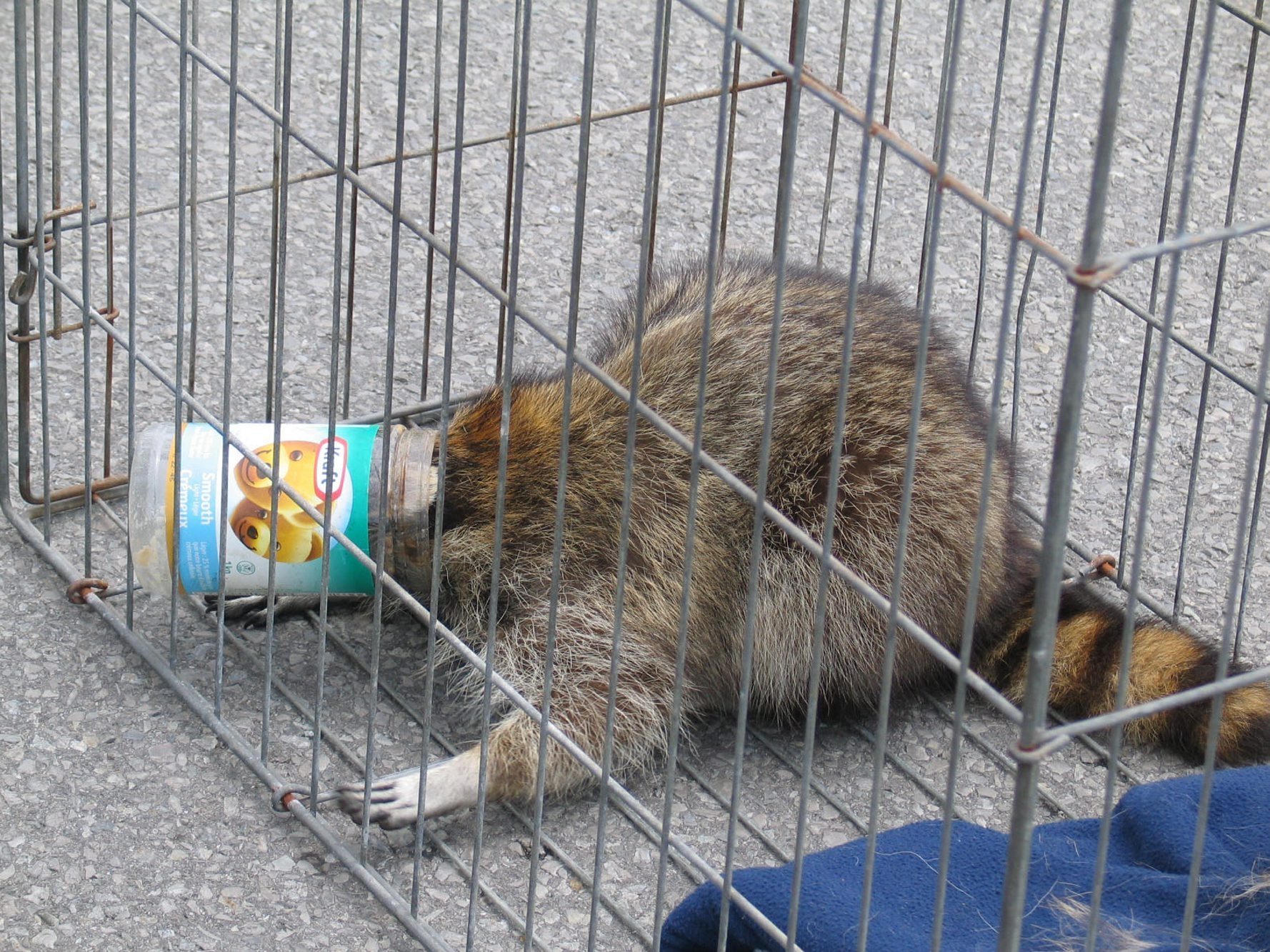 This raccoon had its head stuck stuck in a peanut butter jar as it sat on the top of a high-voltage pole. It was rescued by Fort Erie, Ont., fire Department. (Photo credit: Harry Rosettani)