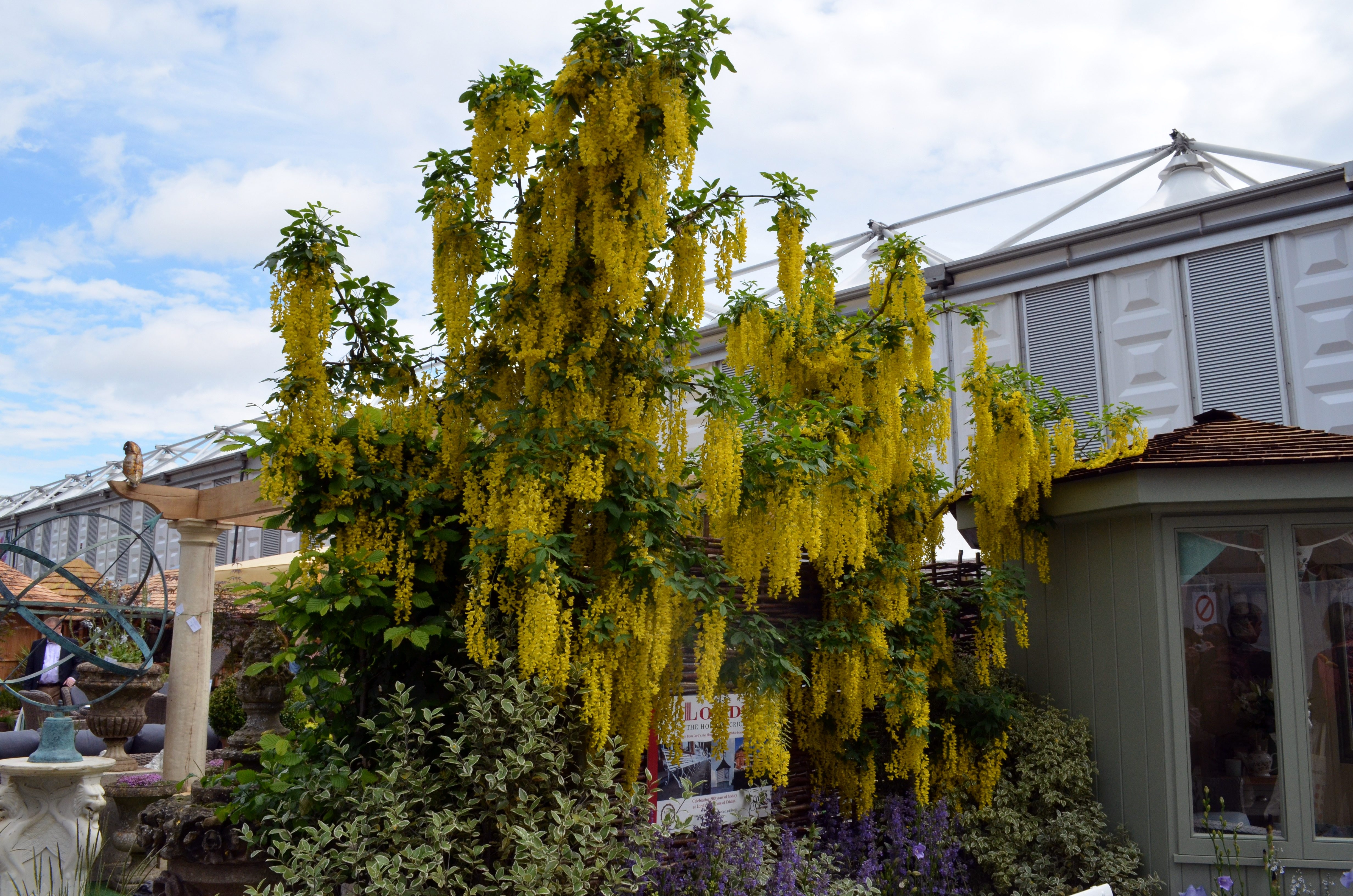 A trip to England: A Golden Chain Tree was among the plants that caught the eye of The News garden columnist. Below right, a close-up of foxgloves courtesy of Proven Winners.