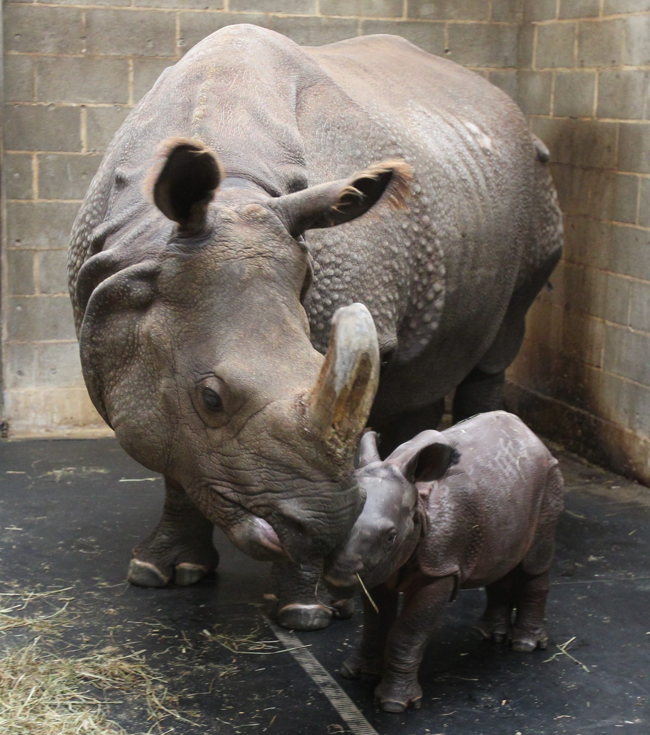 Monica, the baby Indian rhinoceros born last week at the Buffalo Zoo, rests with mother Tashi.