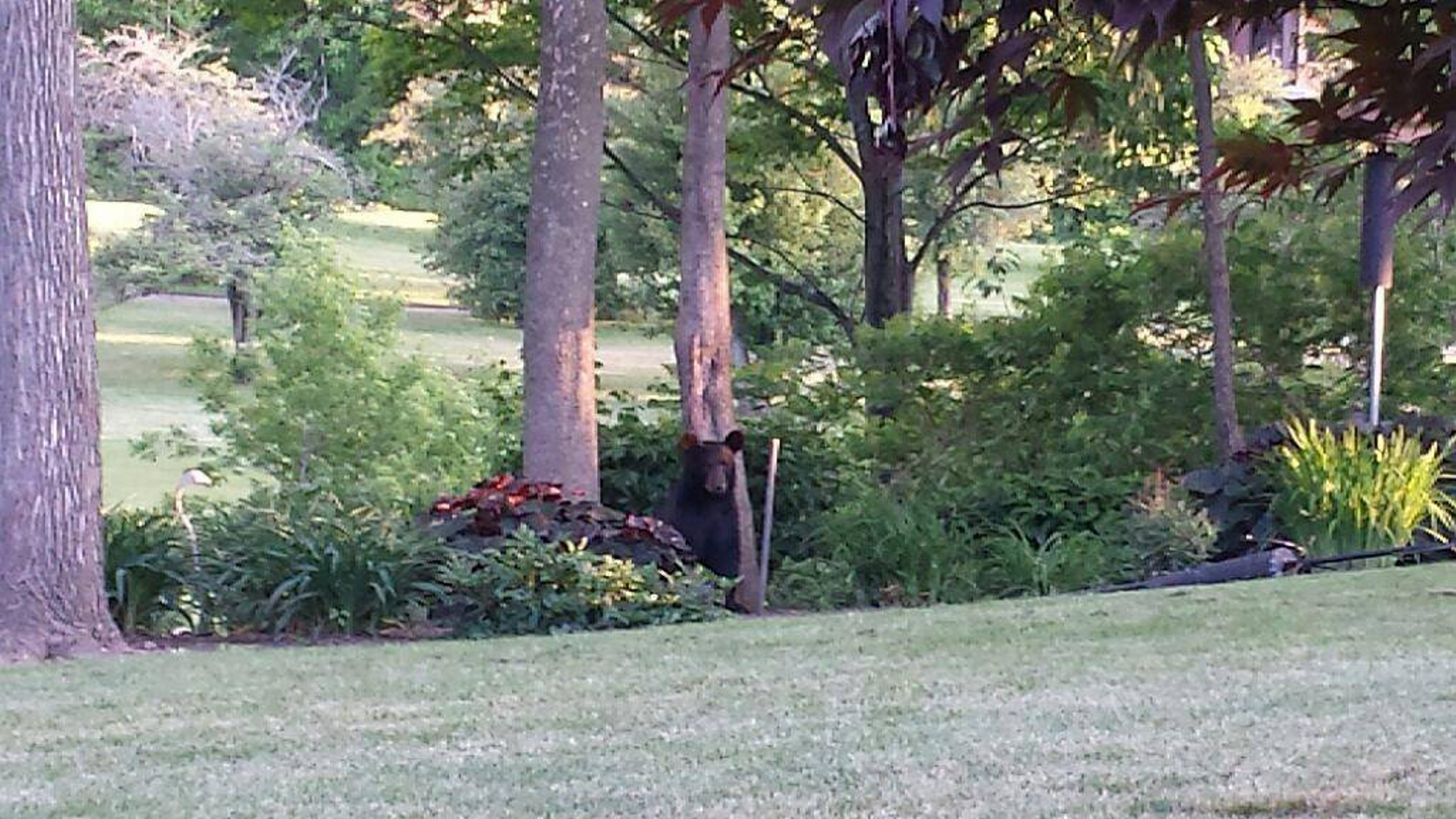 """Lancaster Police Department posted this photo and information on its Facebook page Thursday: """"Within the past few hours our officers took these photos of a bear near Fox Valley Country Club on Genesee Street."""""""