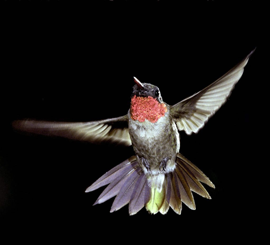 A ruby-throated hummingbird might visit 2,000 flowers a day to drink nectar.