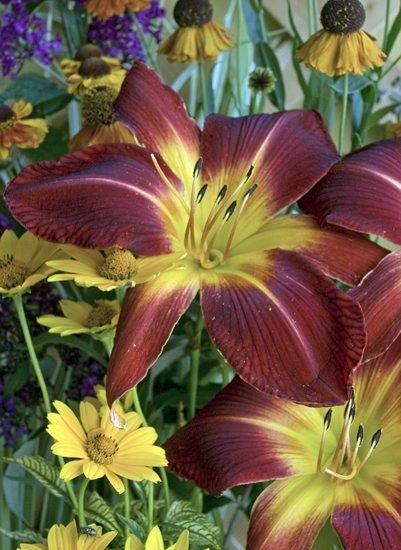 Home & Style – flower hemerocallisruby spider
