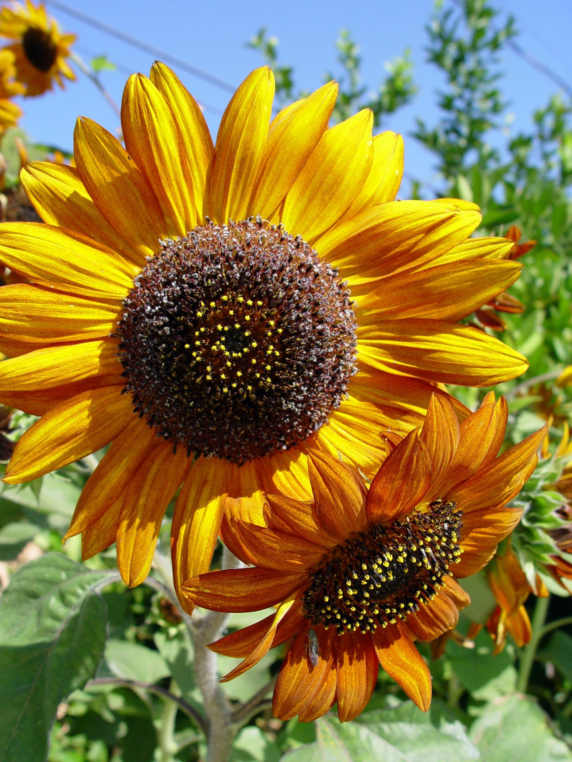 Vividly colored branching sunflowers are ideal for filling out a sparse bed or border. (Maureen Gilmer/MCT)