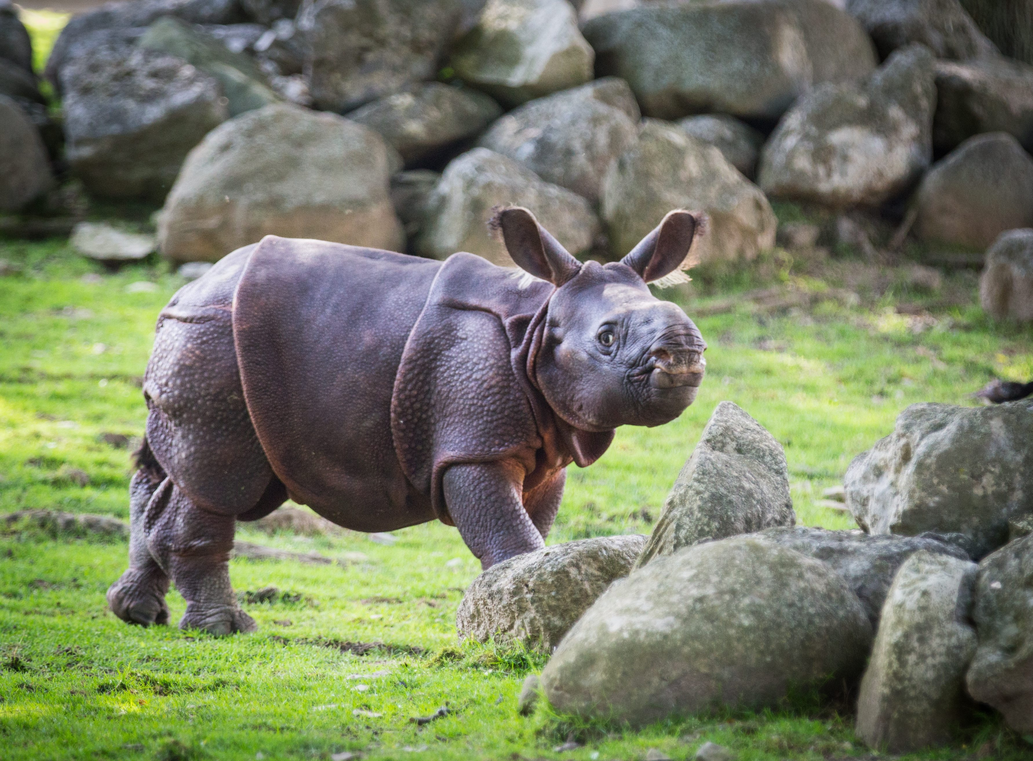 Monica, the baby Indian rhino at the Buffalo Zoo, went on public view for the first time Monday morning. She's 4 weeks old, and she stayed close to her mother, Tashi, during their outing.