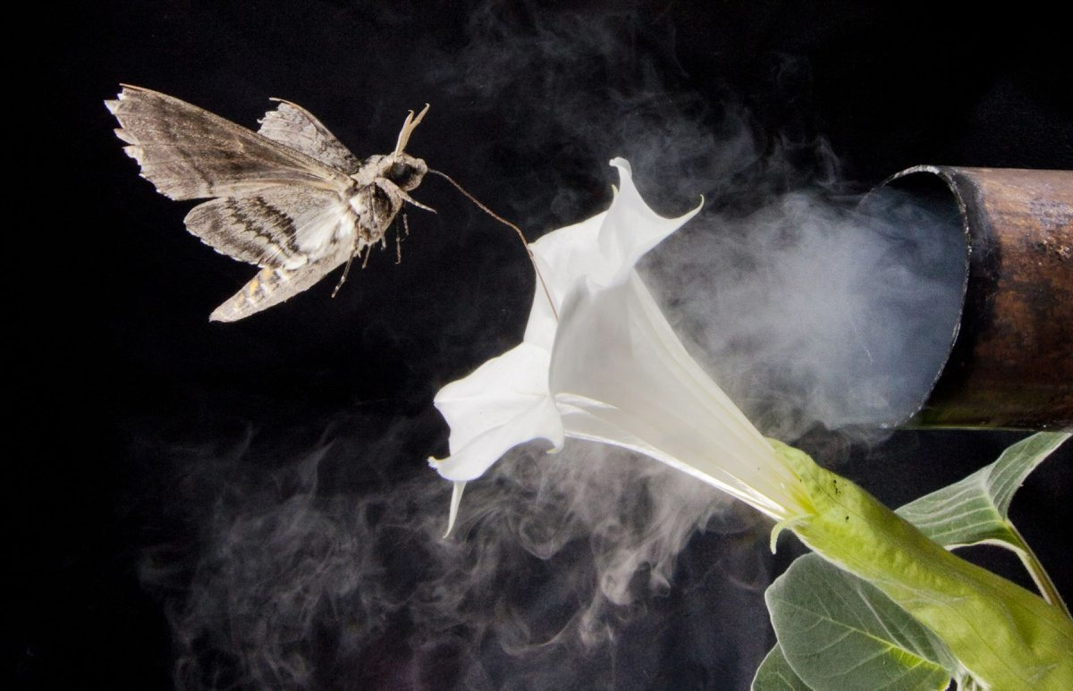 A moth's ability to locate nectar in flowers is impeded by car exhaust and other man-made odors.