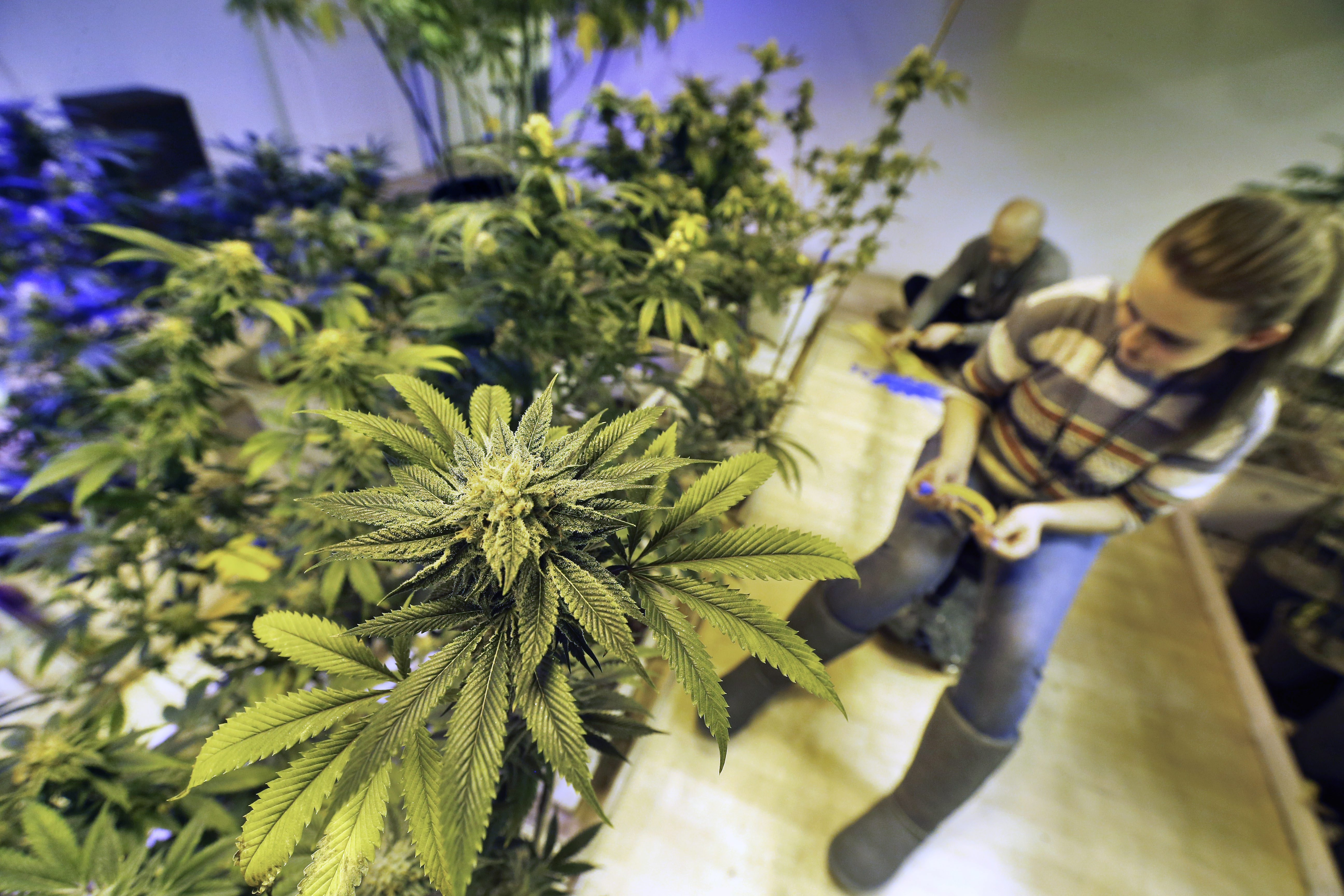 The legalization of recreational pot has resulted in an 85 percent increase in the number of people – such as Cheyenne Fox, shown above at 3D Cannabis Center in Denver – working in Colorado's marijuana industry since the same time last year.