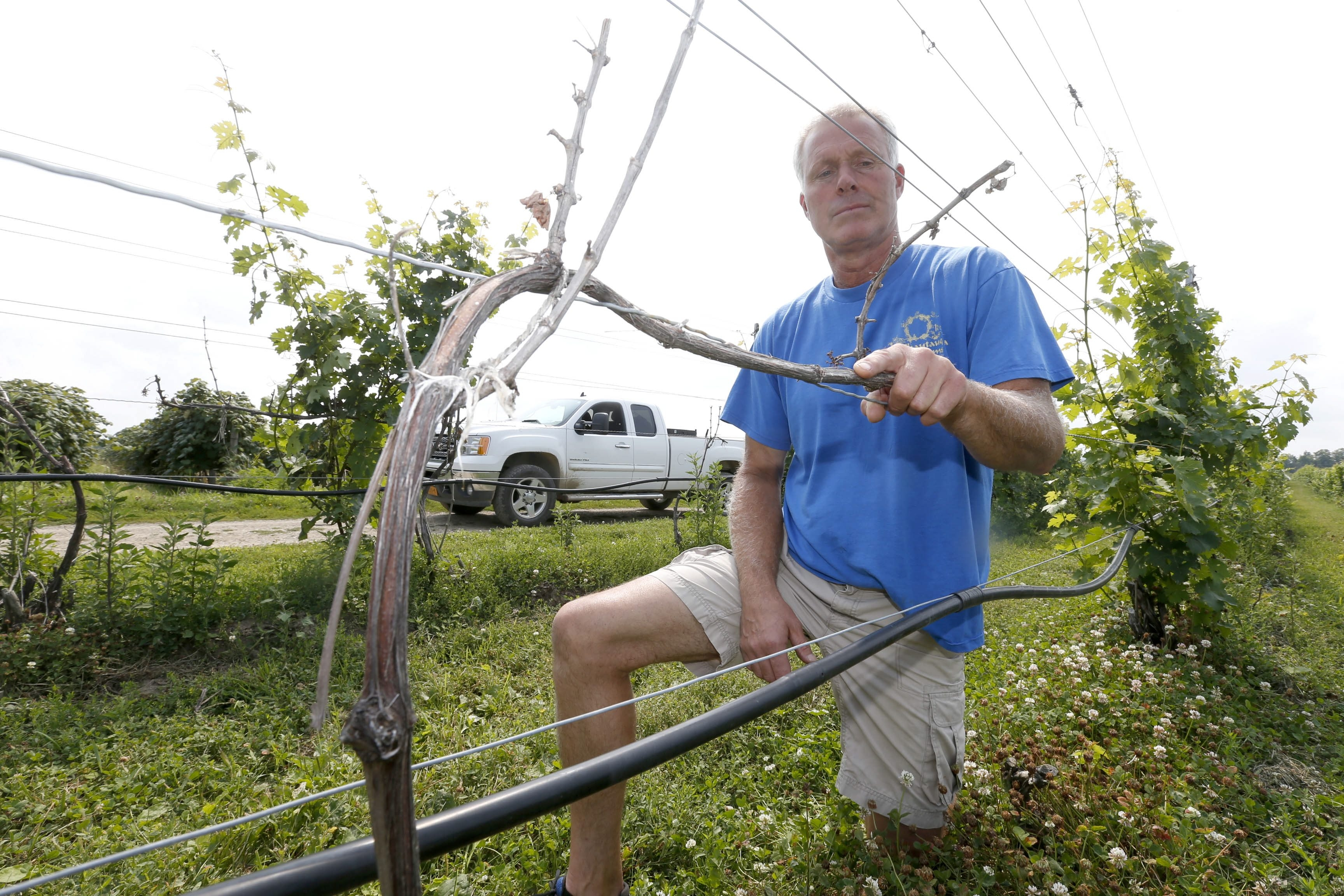 Mike Jordan of 21 Brix Winery and Olde Chautauqua Farms stands near a bare wire that would normally be heavy with grapes on Aug. 1. The heavy, prolonged winter severely damaged area vineyards.
