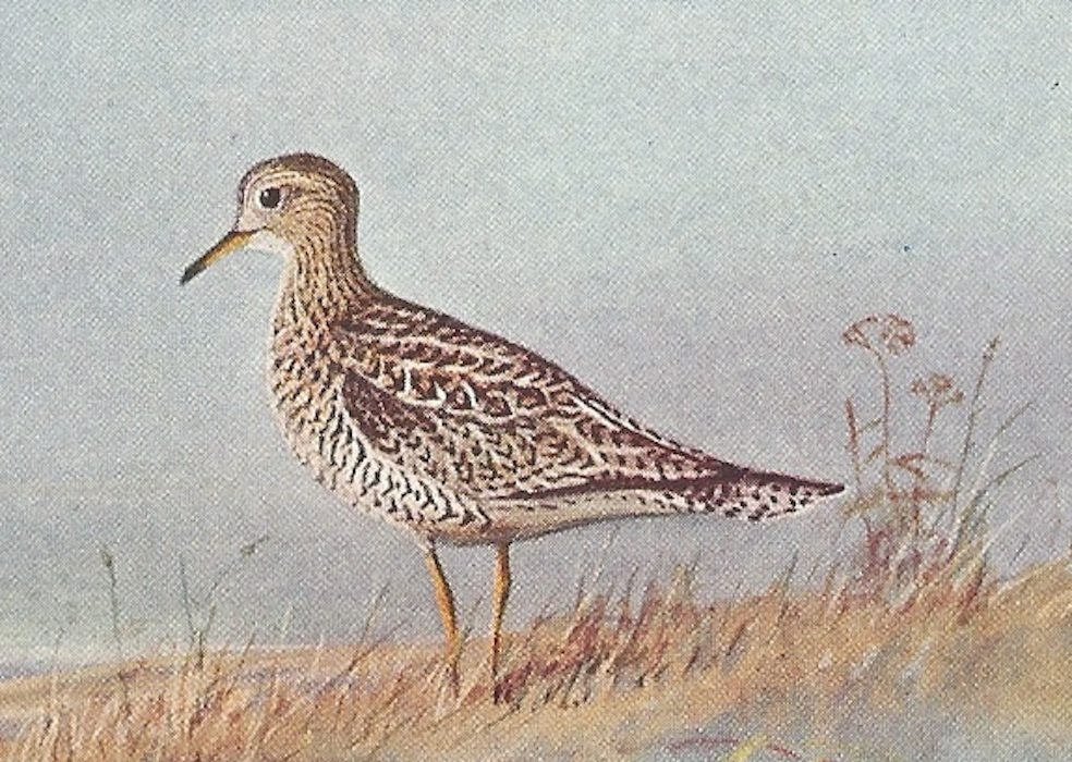 The upland sandpiper inhabits open, grassy areas.