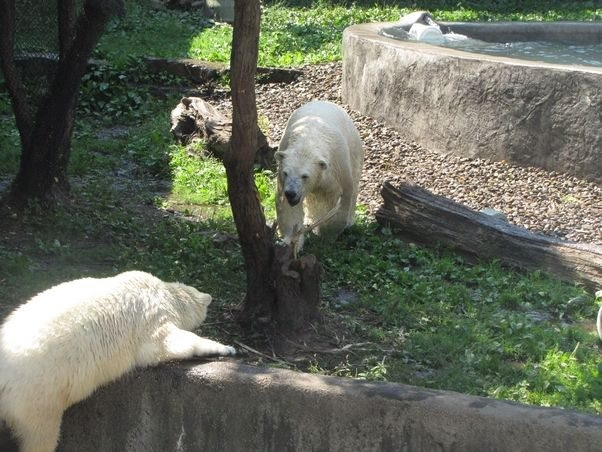 Luna unsuccessfully tries to hold on as she slips and falls into the dry moat surrounding her enclosure at the Buffalo Zoo on Saturday. Kali, the zoo's other polar bear, comes to investigate at right.
