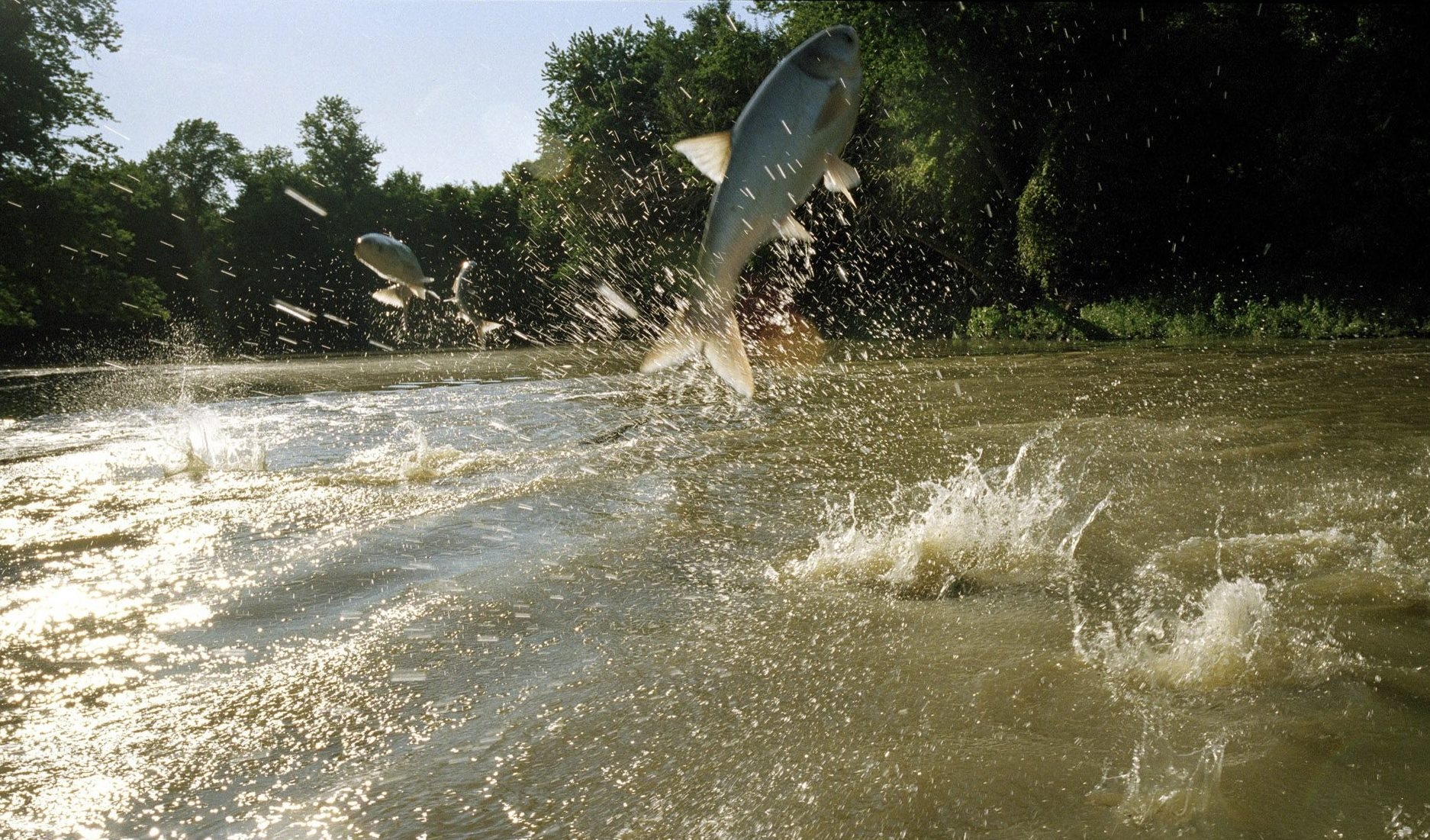 Asian carp jumping out of the Illinois River in Havana, Ill., in 2008.  Since 2013, Asian carp DNA has been found in the Chicago River, less than one city block from Lake Michigan. (New York Times file photo)