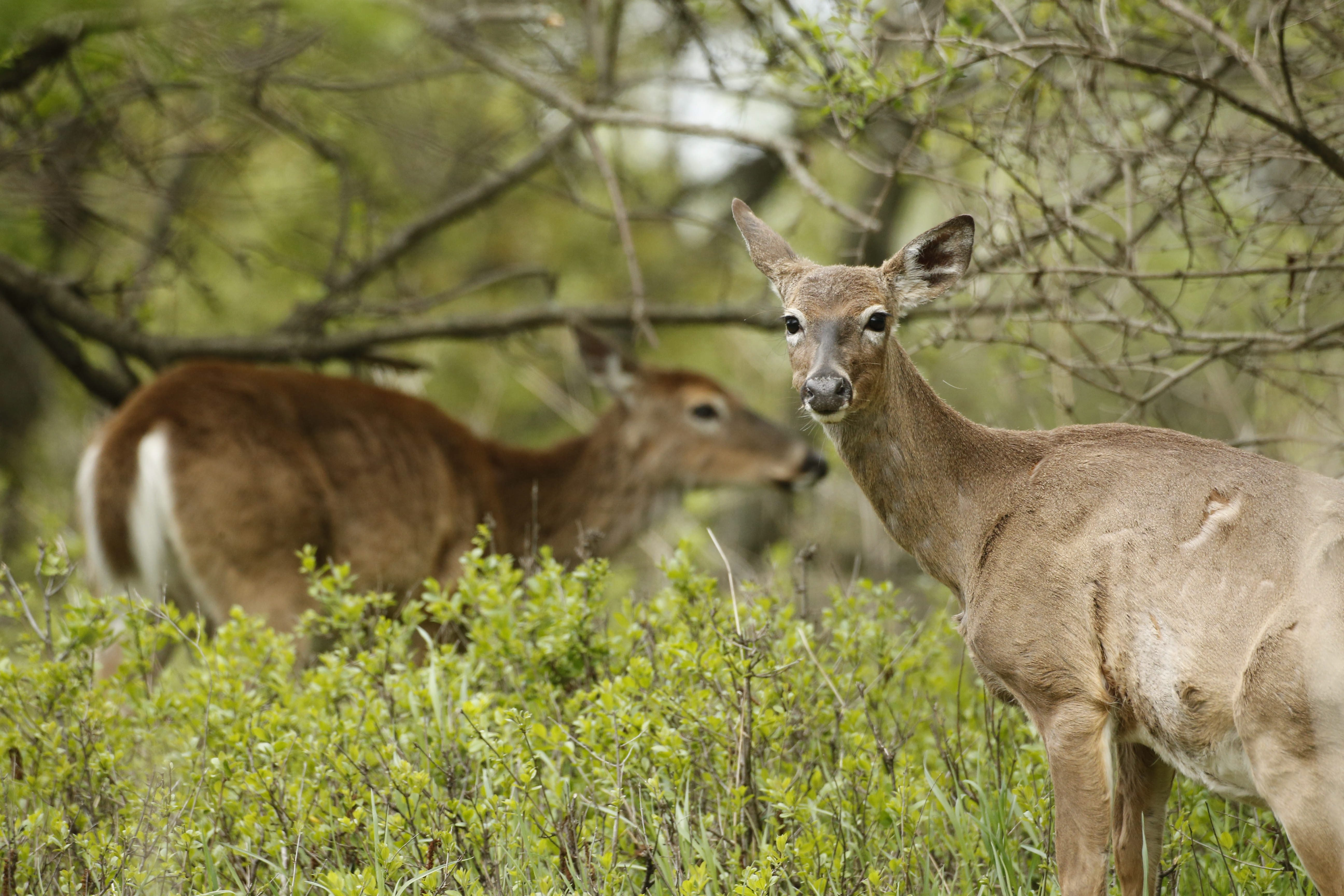 Whitetail deer forage at Tifft Nature Preserve, Wednesday, May 13, 2015.  (Derek Gee/Buffalo News)