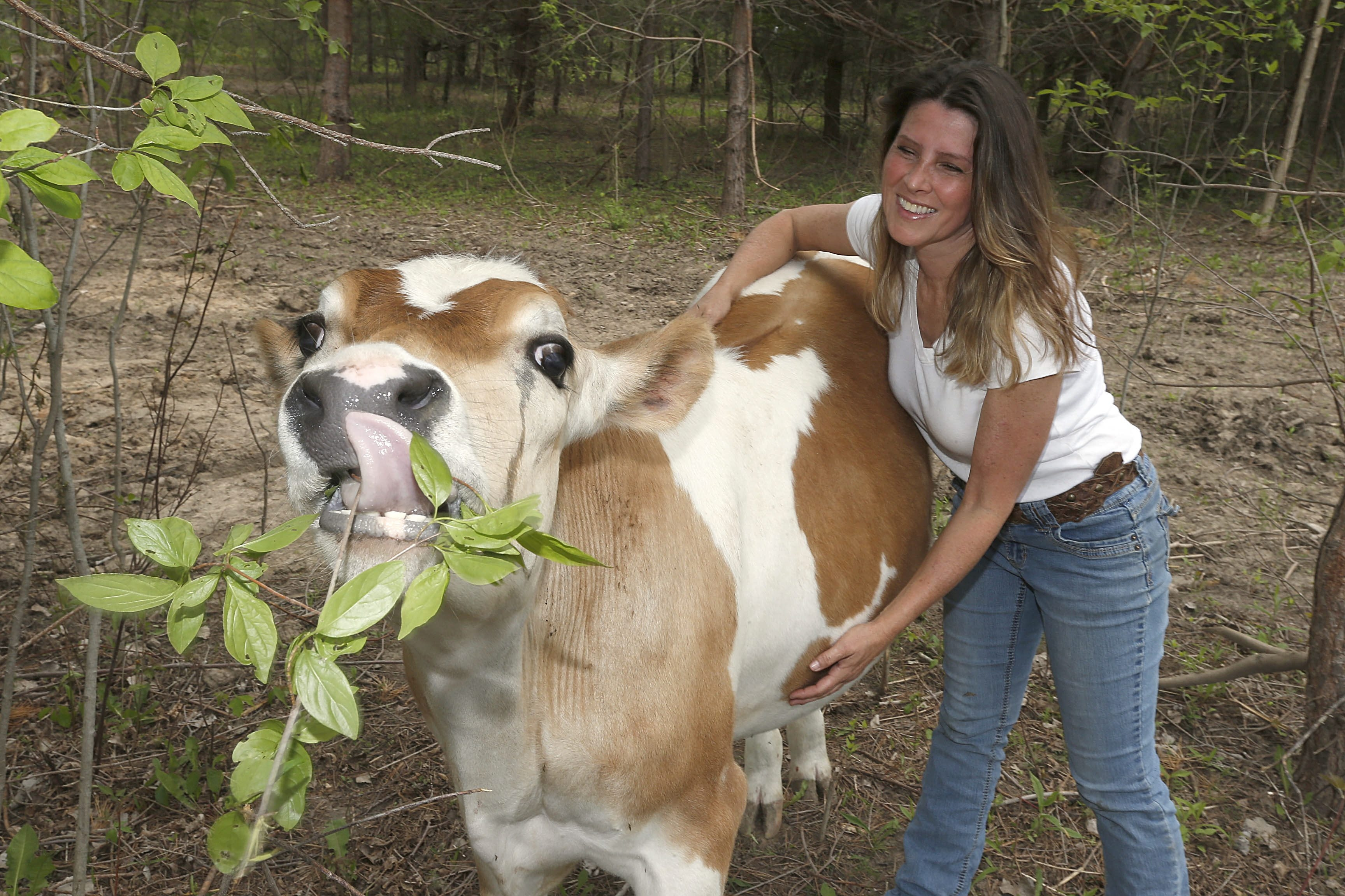 Tracy Murphy, founder of Asha – Acres of Sanctuary and Hope for Animals – in Newfane, is happy with the recovery of Albert, a Jersey steer she rescued six months ago as a seemingly doomed day-old calf, as they await their public festivities next Sunday.