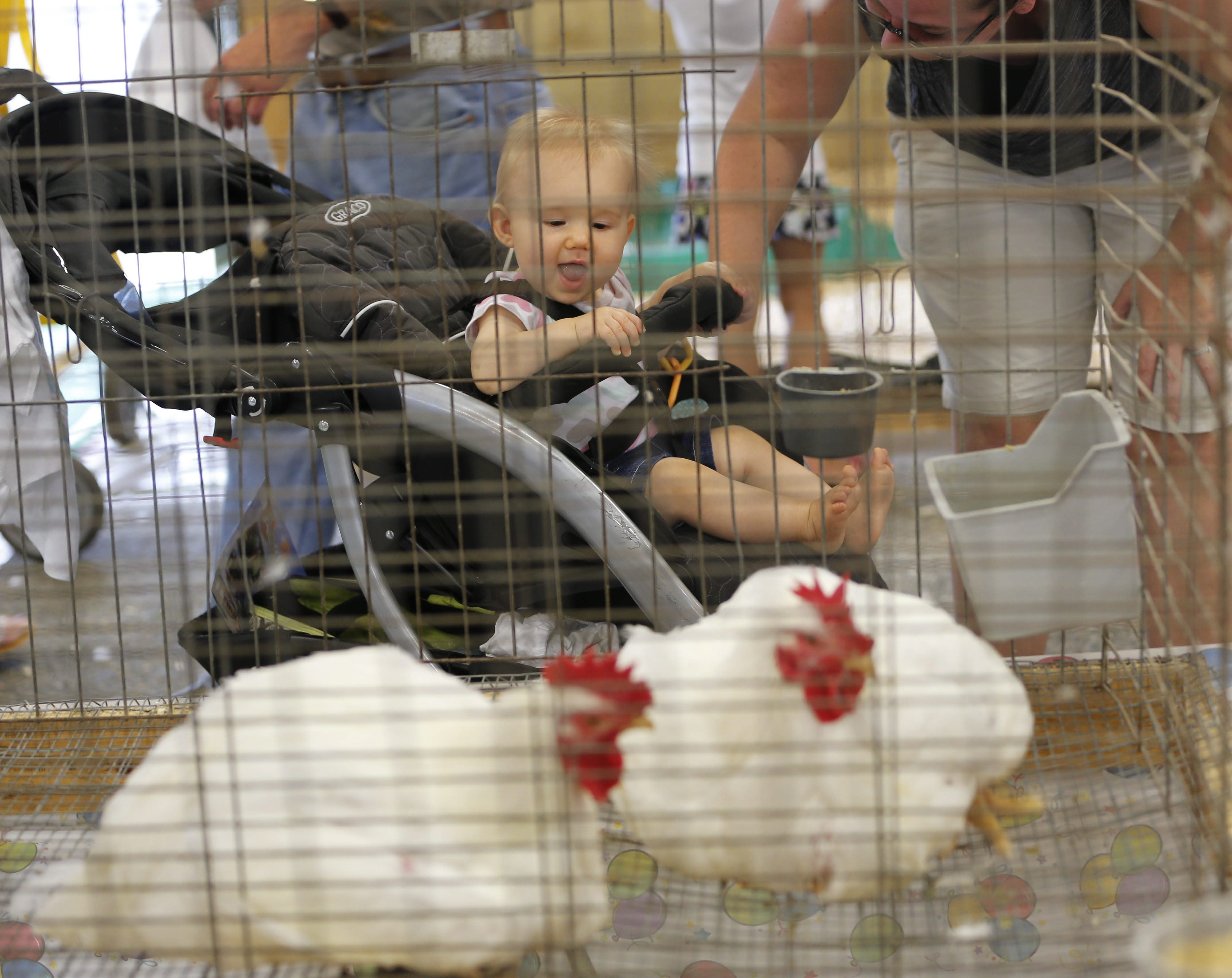 A one-year-old fairgoer admires the chickens on display at the 2014 Erie County Fair. Live fowl competitions will be banned at all fairs this year due to an avian flu outbreak in the Midwest.
