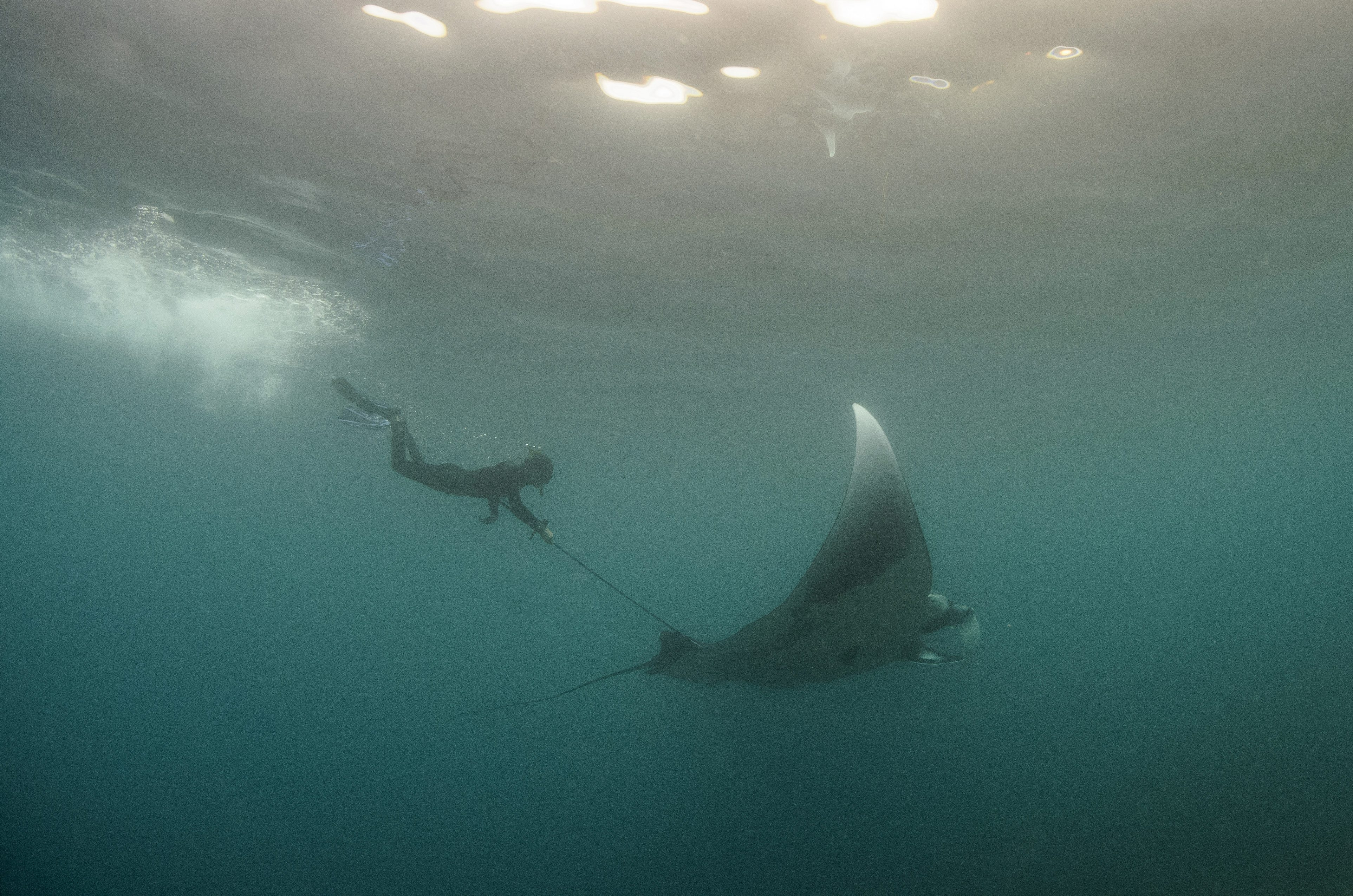 Josh Stewart collects a skin biopsy from a manta ray off the coast of Mexico.