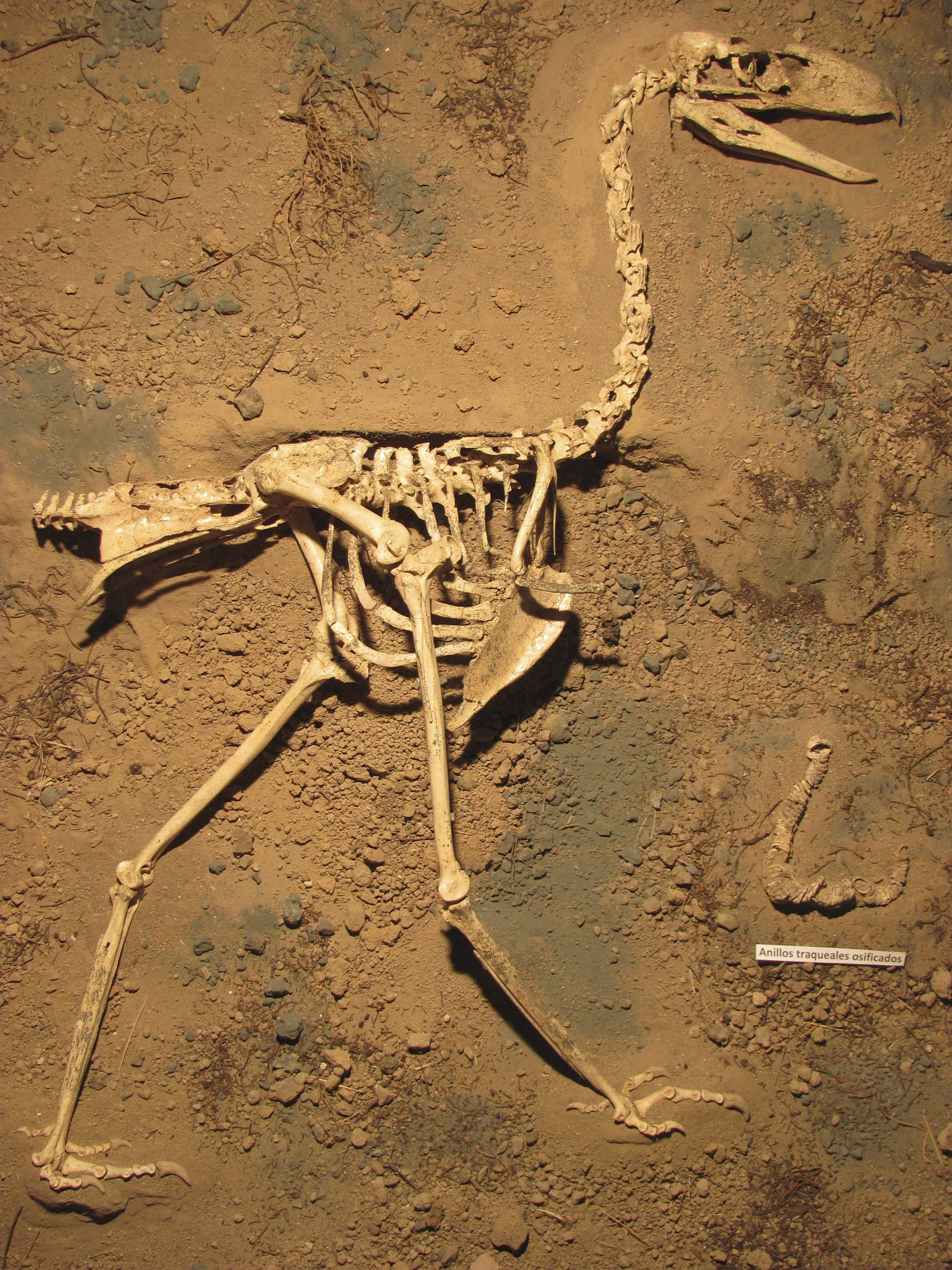 A well-preserved fossil found in Argentina provides new details on Llallawavis scagliai and clues that the terror bird could hear low-frequency sounds.