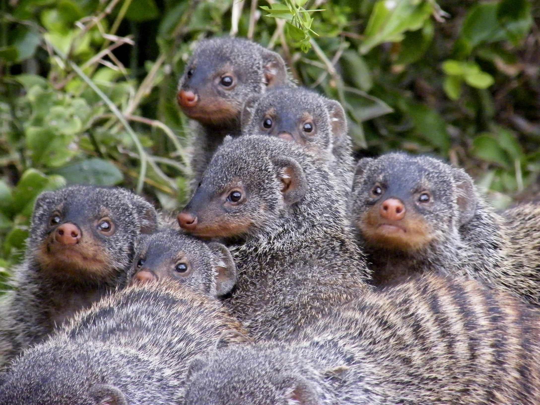 Banded mongooses avoid mating with their nearest relatives, perhaps through sound or scent.