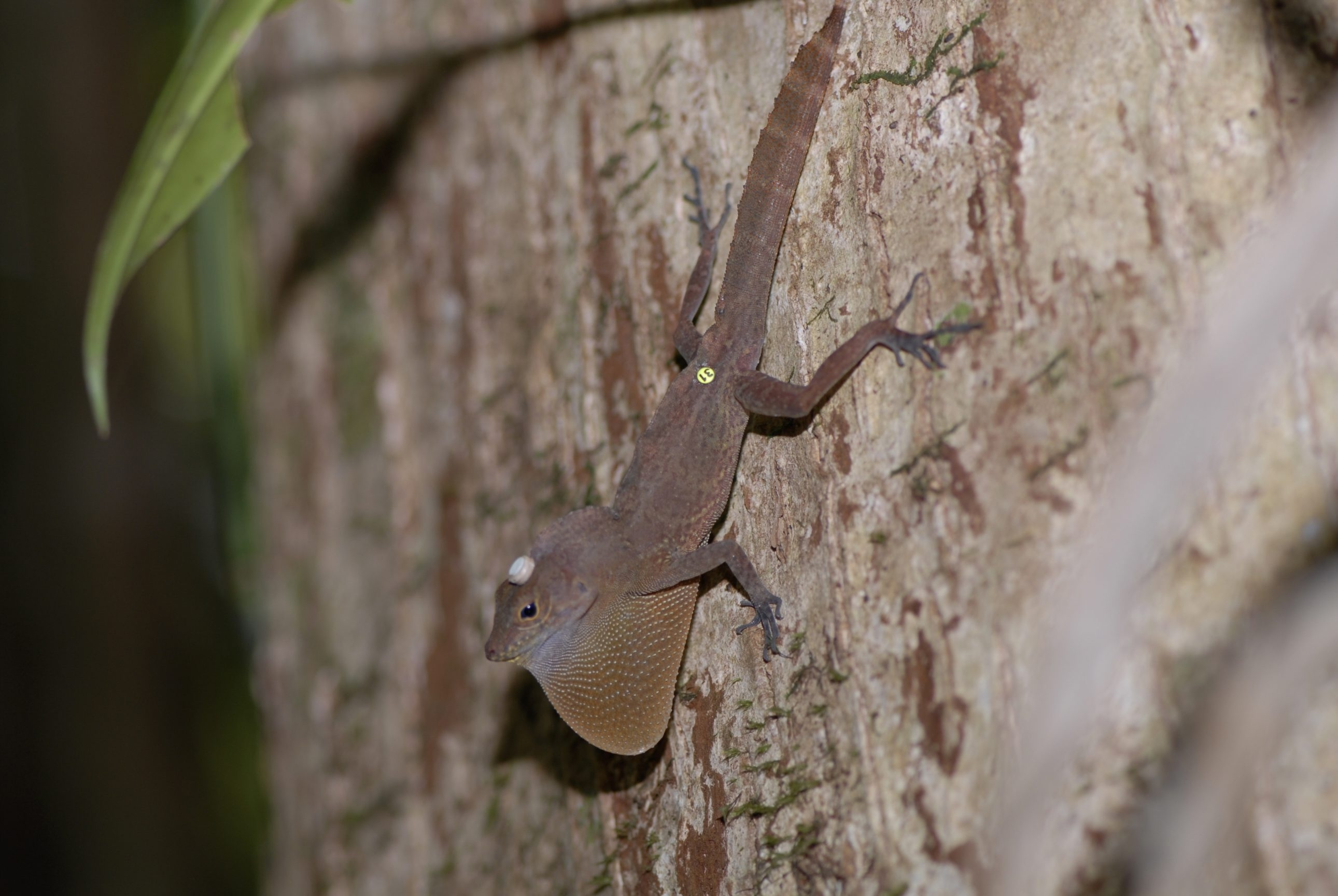 Anoles, like this trunk-ground species in Puerto Rico, make it back to their territory through all obstacles. A biologist has turned detective in an effort to learn how the lizards, which never leave their homes in the dense rain forest, typically find their way back if moved.