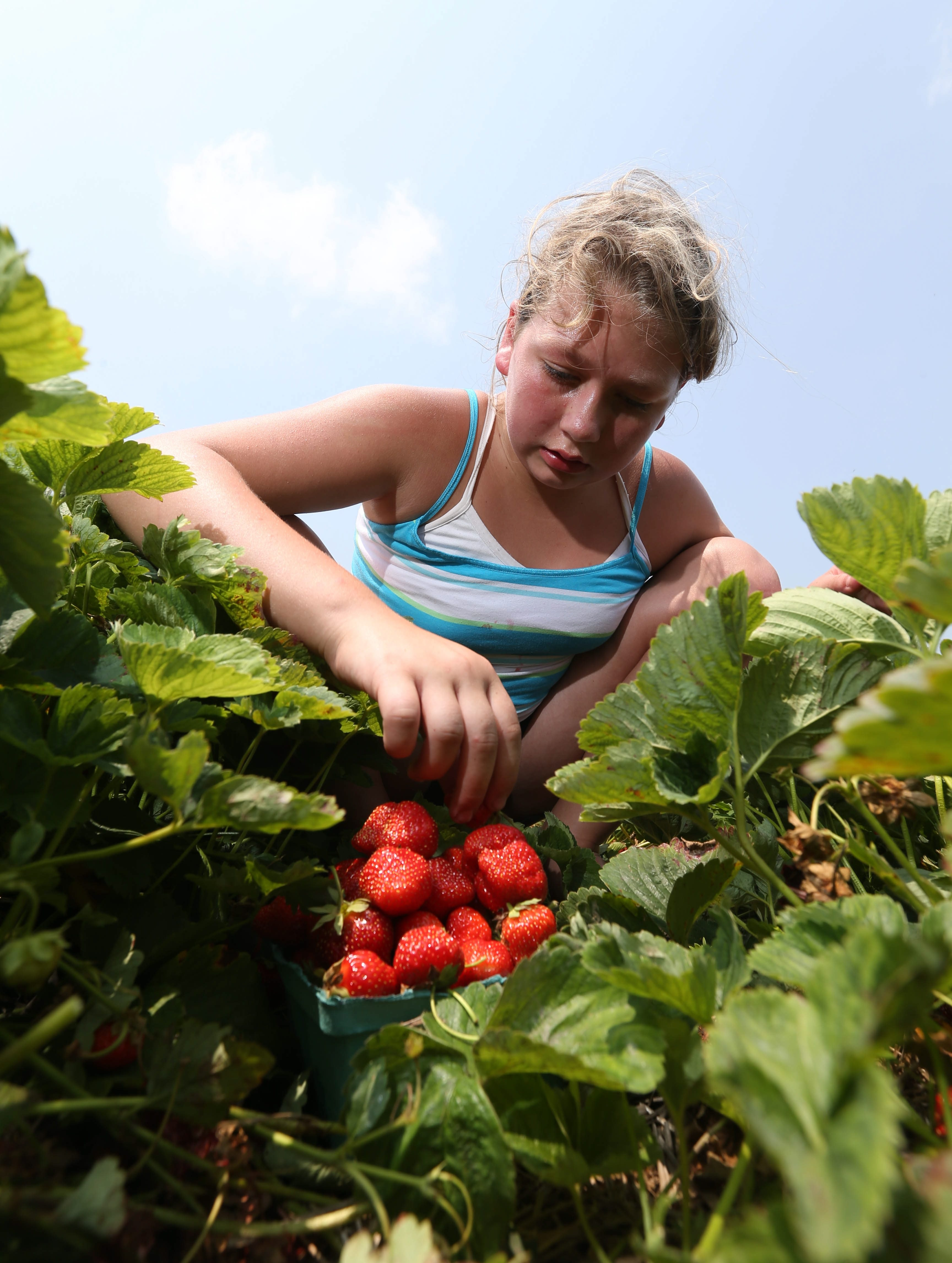 Red gold: Even though the strawberry season was winding down this week, U-pickers found more than enough to keep them happy at Greg's U-Pick in Clarence. At top, Olivia Burzynski, 11, of Sloan, who came with her mother Kim Myer, tops off a basket of berries. Above, Cheri Kwiatek of Lancaster picks the strawberries while her sons Wesley, 3, left, and Drayton, 5, sample the harvest. At left, Celena Johncox, 15, of Lockport, reaches for a few more berries.