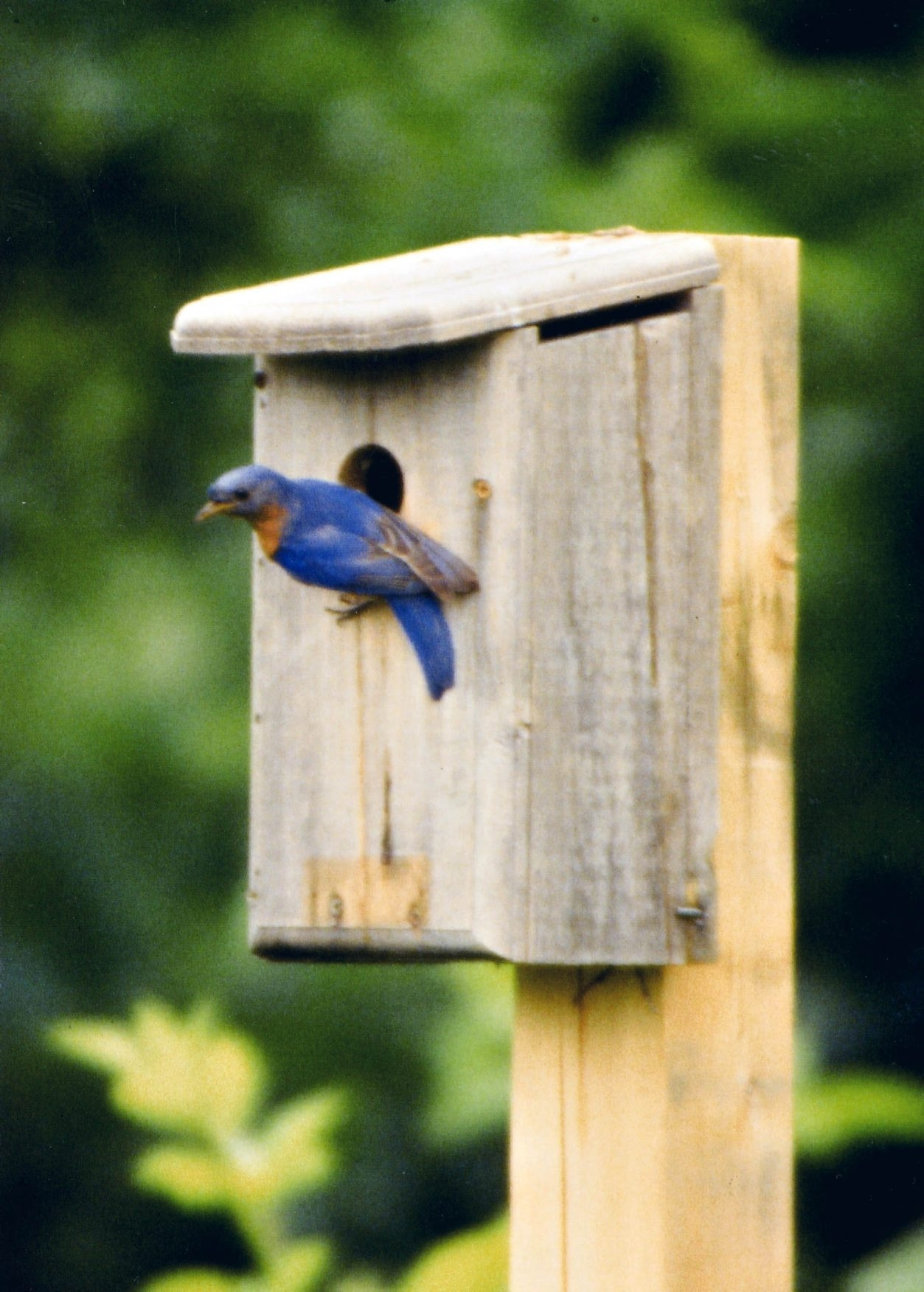 Nesting boxes have increased the number of Eastern bluebirds.