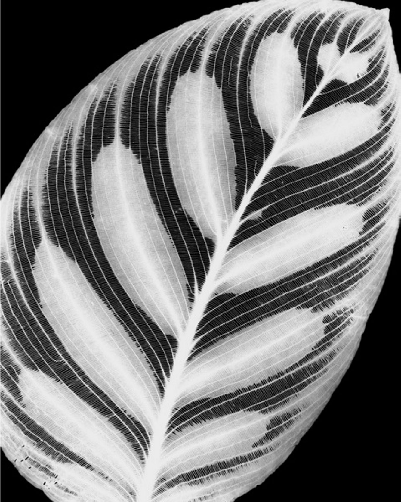 """Amanda Means' """"Leaves"""" series features images of leaves created in a dark room, without a camera, to produce glowing impressions."""