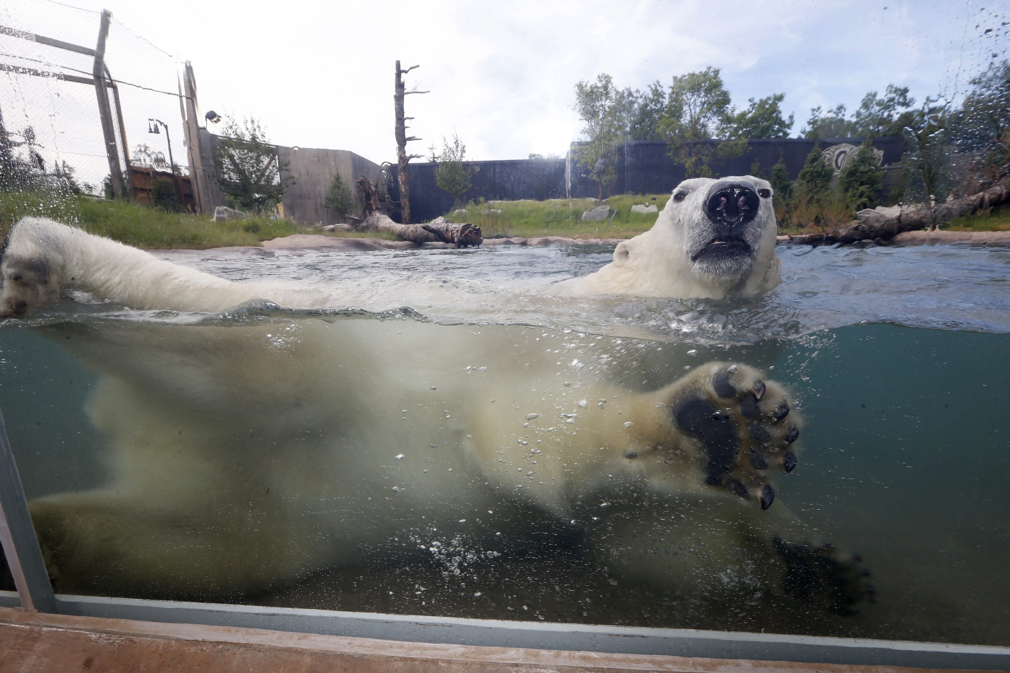 Luna the polar bear frolics in the Buffalo Zoo's new Arctic Edge exhibit.  (Robert Kirkham/Buffalo News)