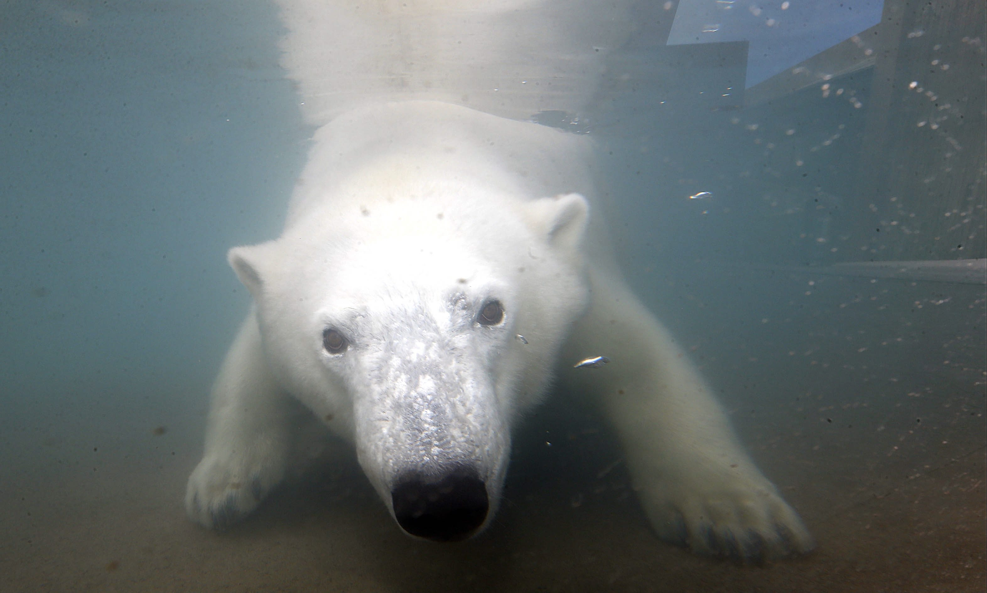You can watch polar bears Luna and her mother, Anana, swim and frolic in the pool of the Buffalo Zoo's new Arctic Edge exhibit. It is slated to open to the public on Saturday in Buffalo. This photo was taken Thursday, Sept. 10, 2015.(Robert Kirkham/Buffalo News)