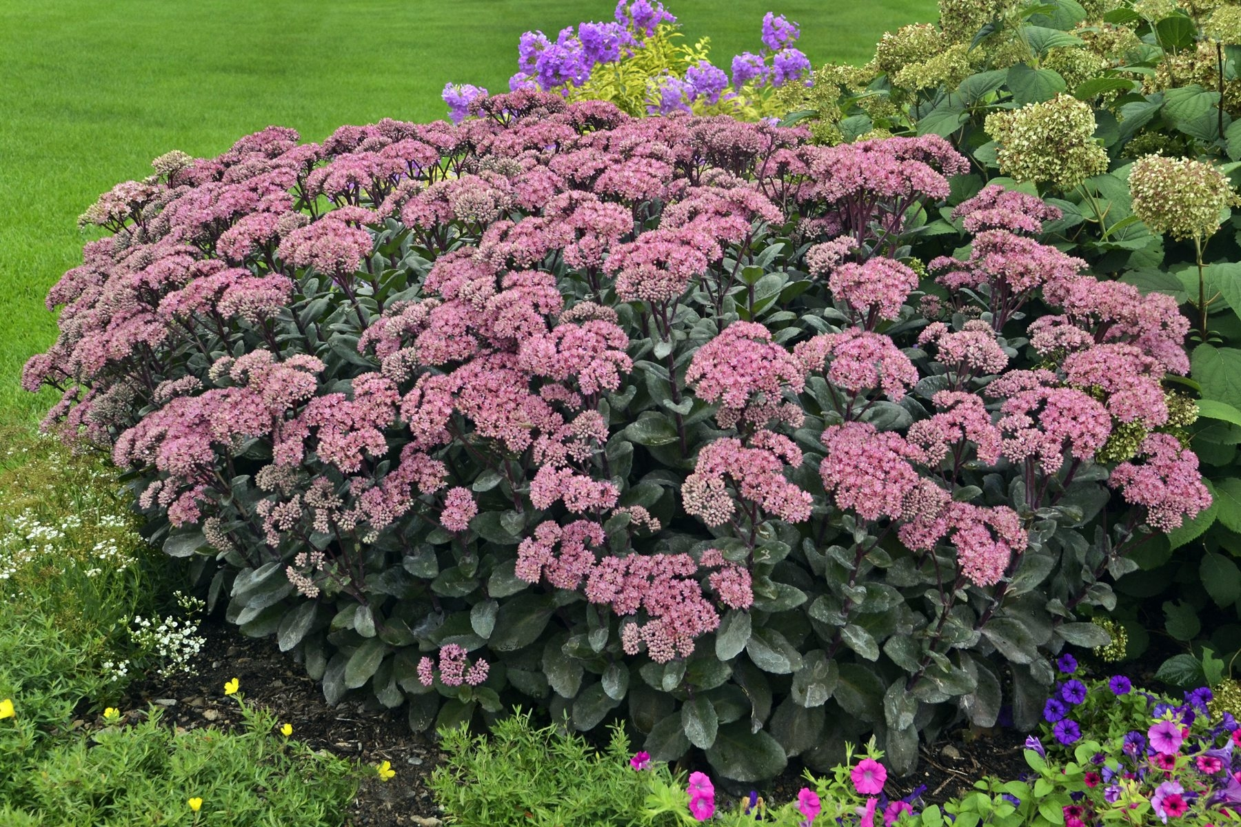 Sedums are one of the great plants that flower in the fall.