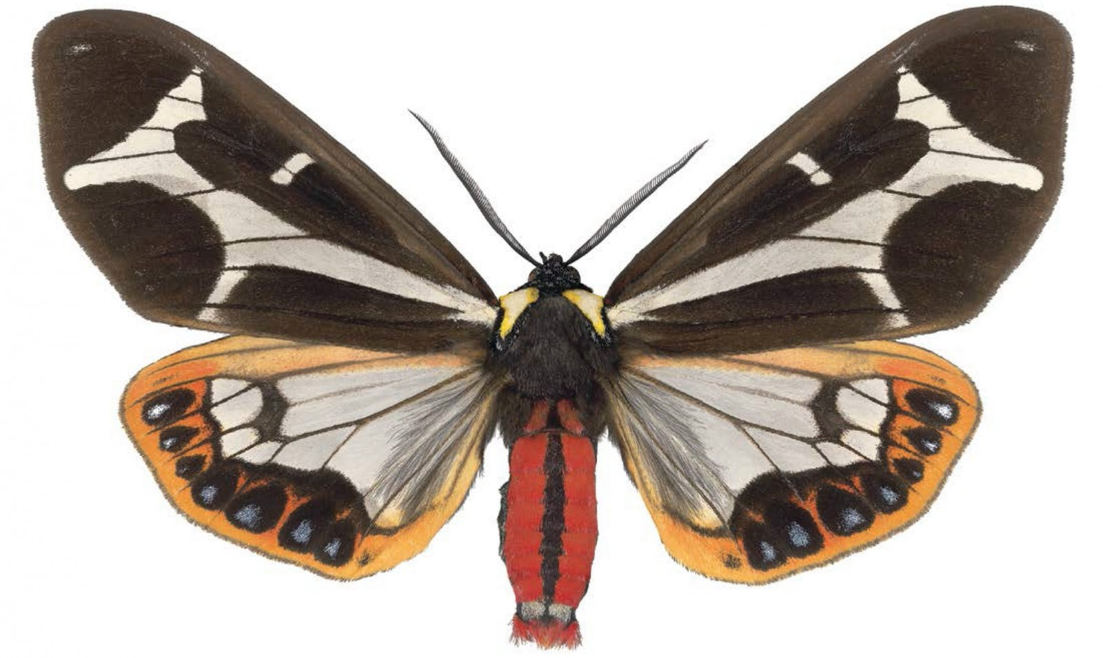 """Joseph Scheer's 'Dysschema mariamne ma,"""" a high-resolution scan of a moth, is on view in Indigo Art's exhibition """"Mothing: Life Beyond the Edge of Awareness."""""""