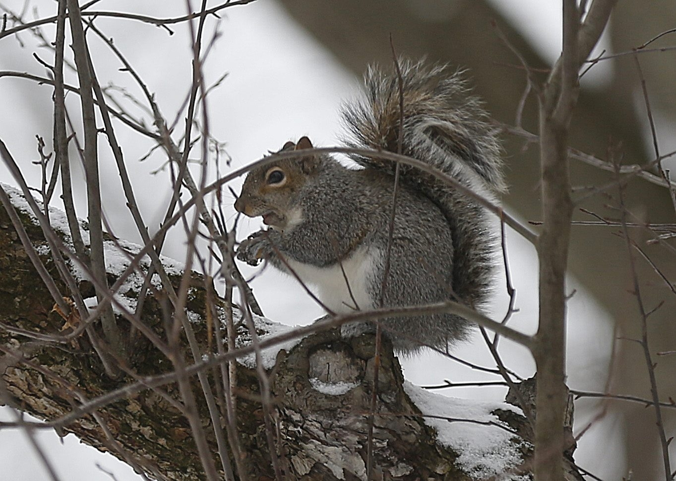 This pleasantly plump squirrel, a resident of East Aurora, chomps on a nut found near the end of an unusually mild January.