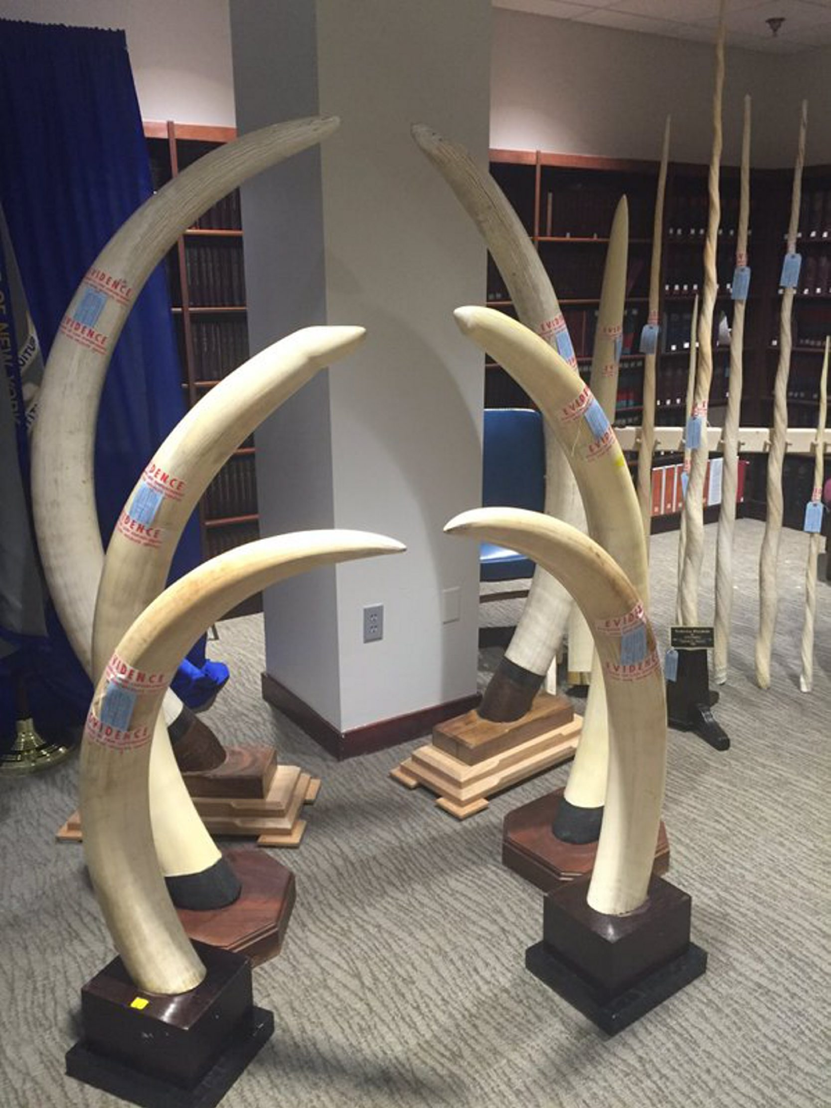 Elephant tusks surrendered by Franklinville antiques dealer as part of a federal plea Wednesday, Feb. 17, 2016. (John Hickey/Buffalo News)