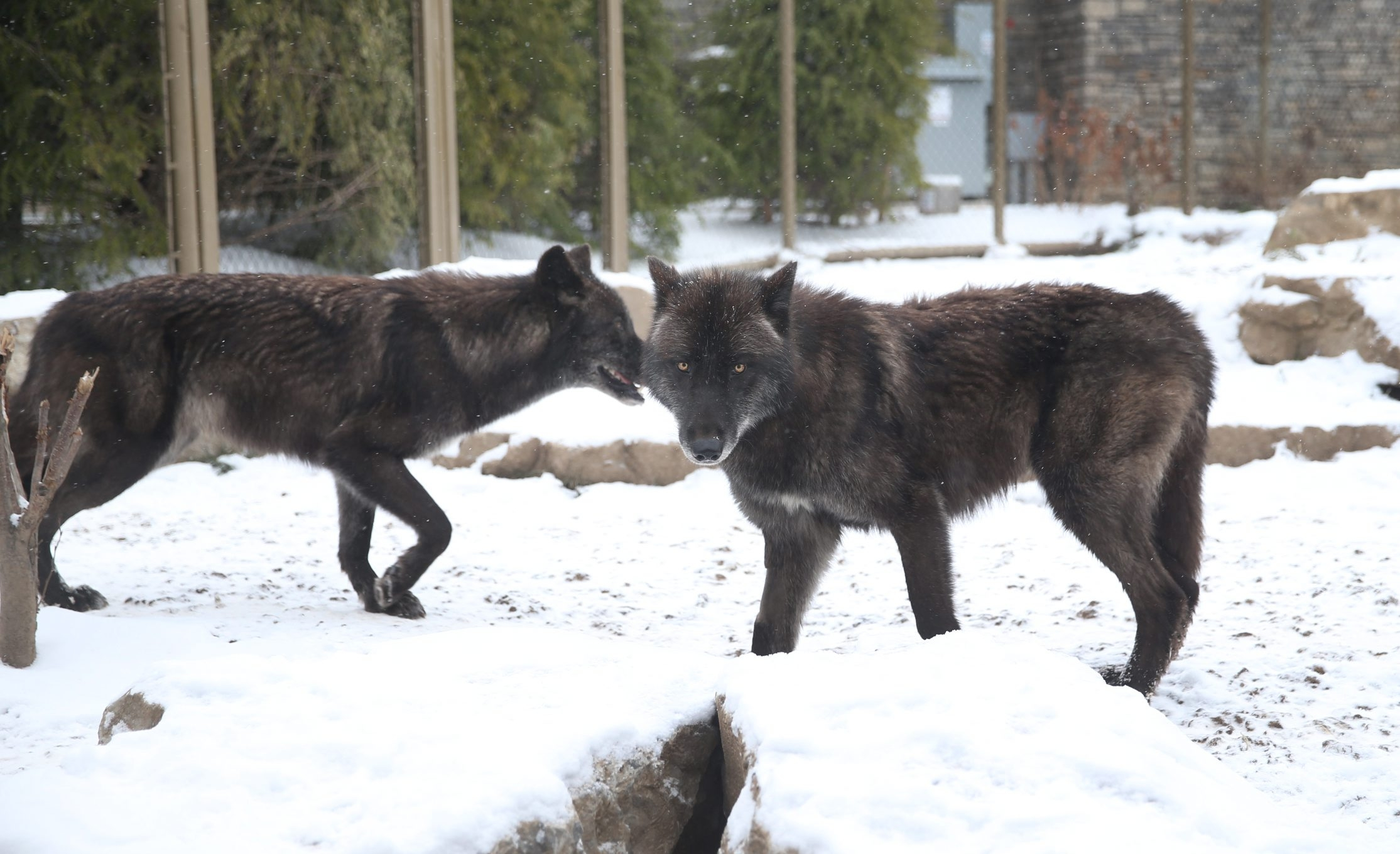 The two gray wolves pace in their home in the Buffalo Zoo's Arctic Edge as they near feeding time. (Sharon Cantillon/News file photo)