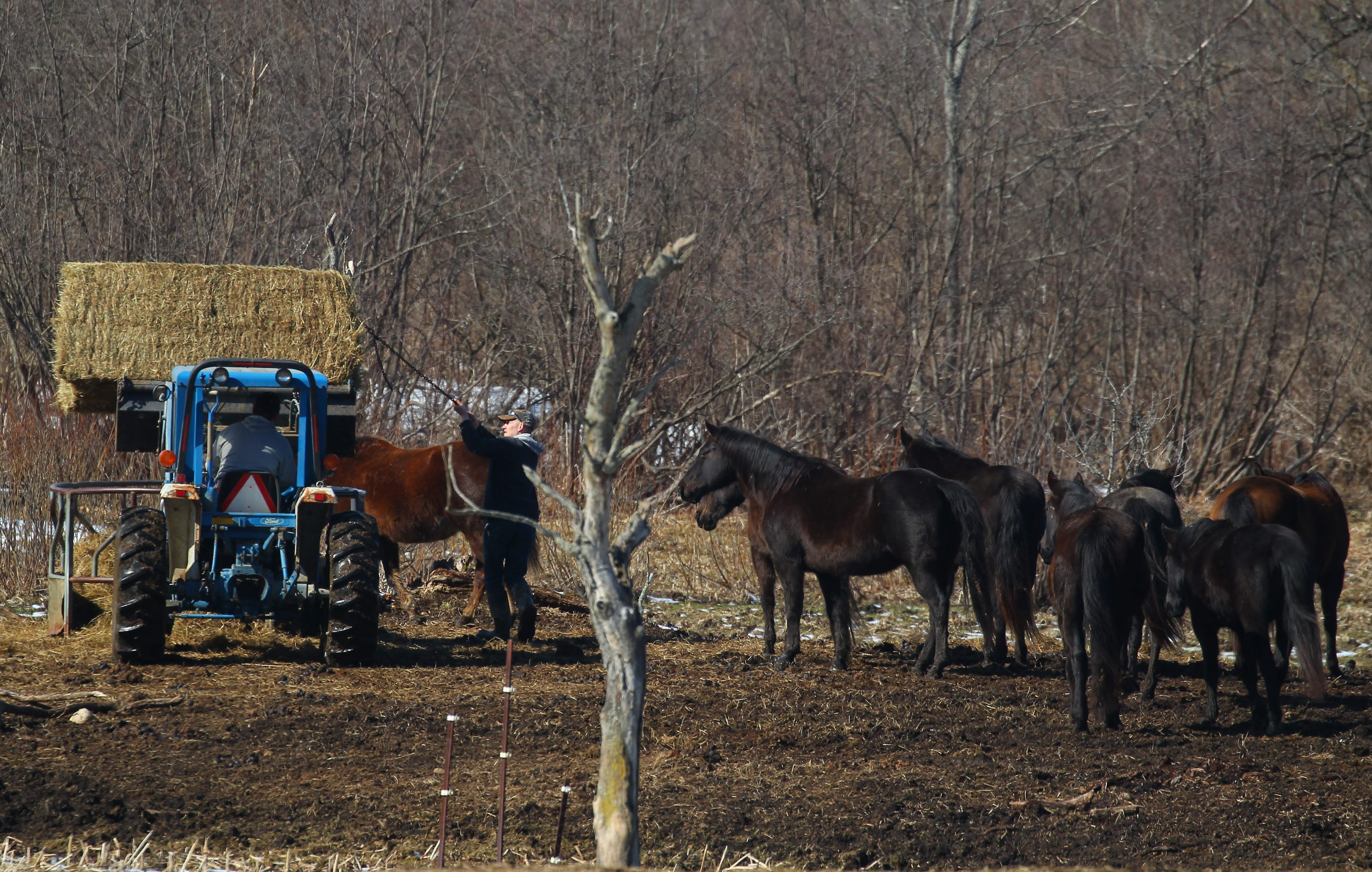 People feed some horses as volunteers help clean up Painted Meadows Farm in Farmersville March 6, 2016.   (Mark Mulville/Buffalo News)