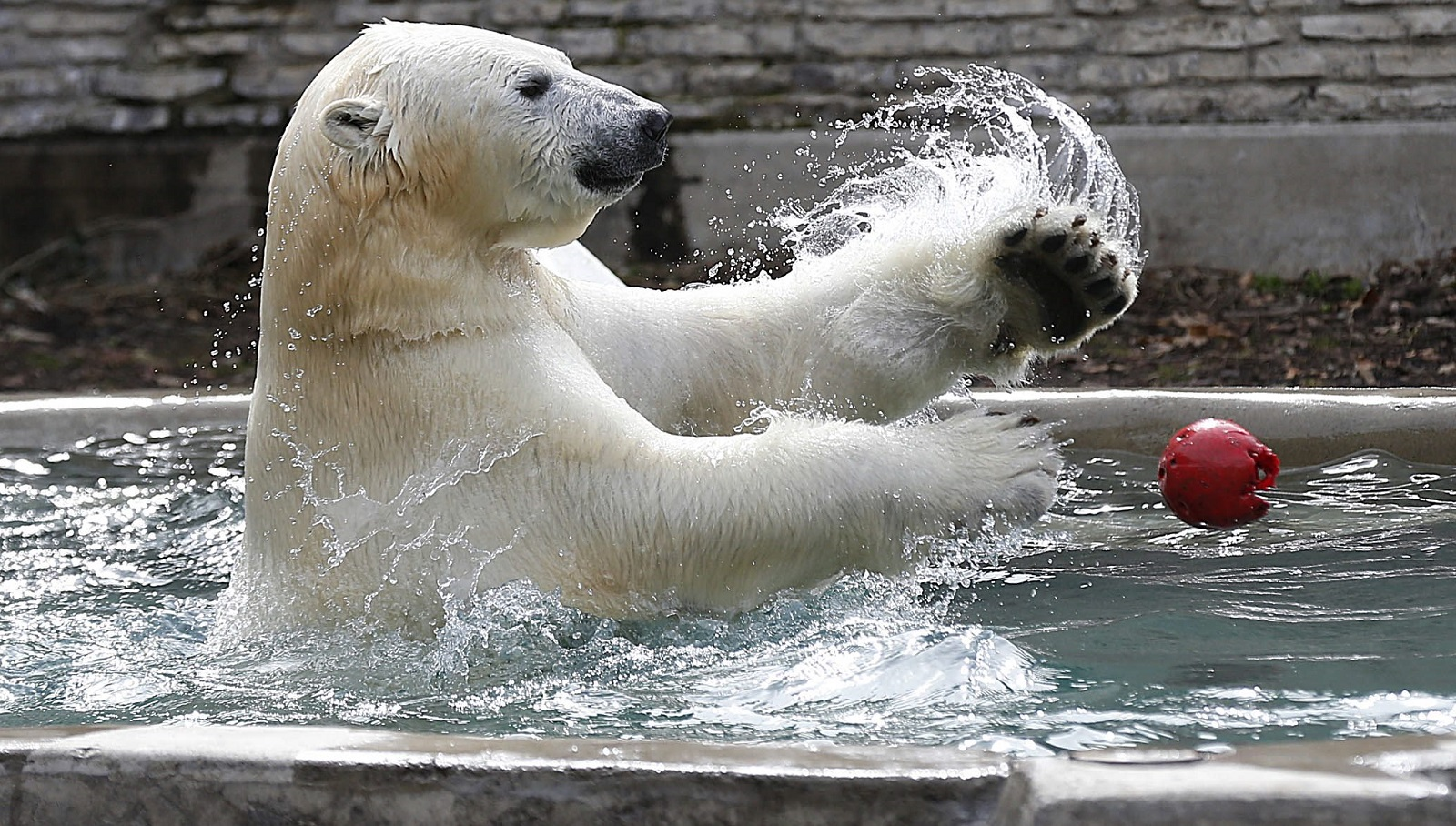 Former Buffalo Zoo resident Kali shows off his agility and intelligence at the St. Louis Zoo. Here, he's pictured playing with his favorite ball on April 14, 2015, in Buffalo. (Robert Kirkham/Buffalo News file photo)