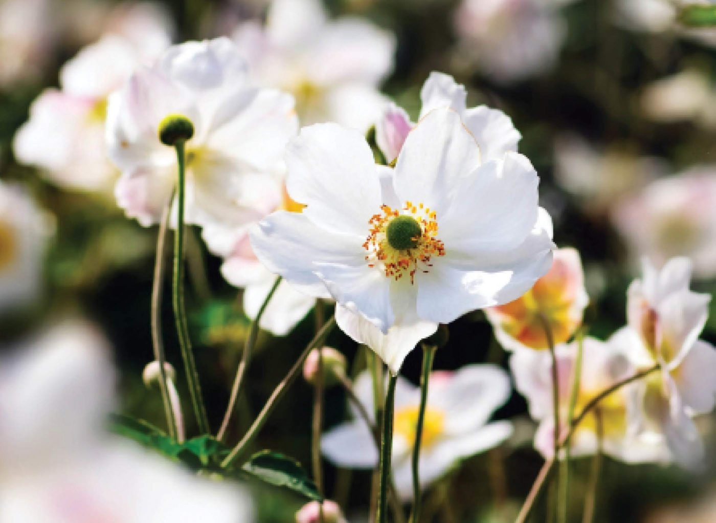 Japanese anemones are among the perennials that may need to be thinned out.