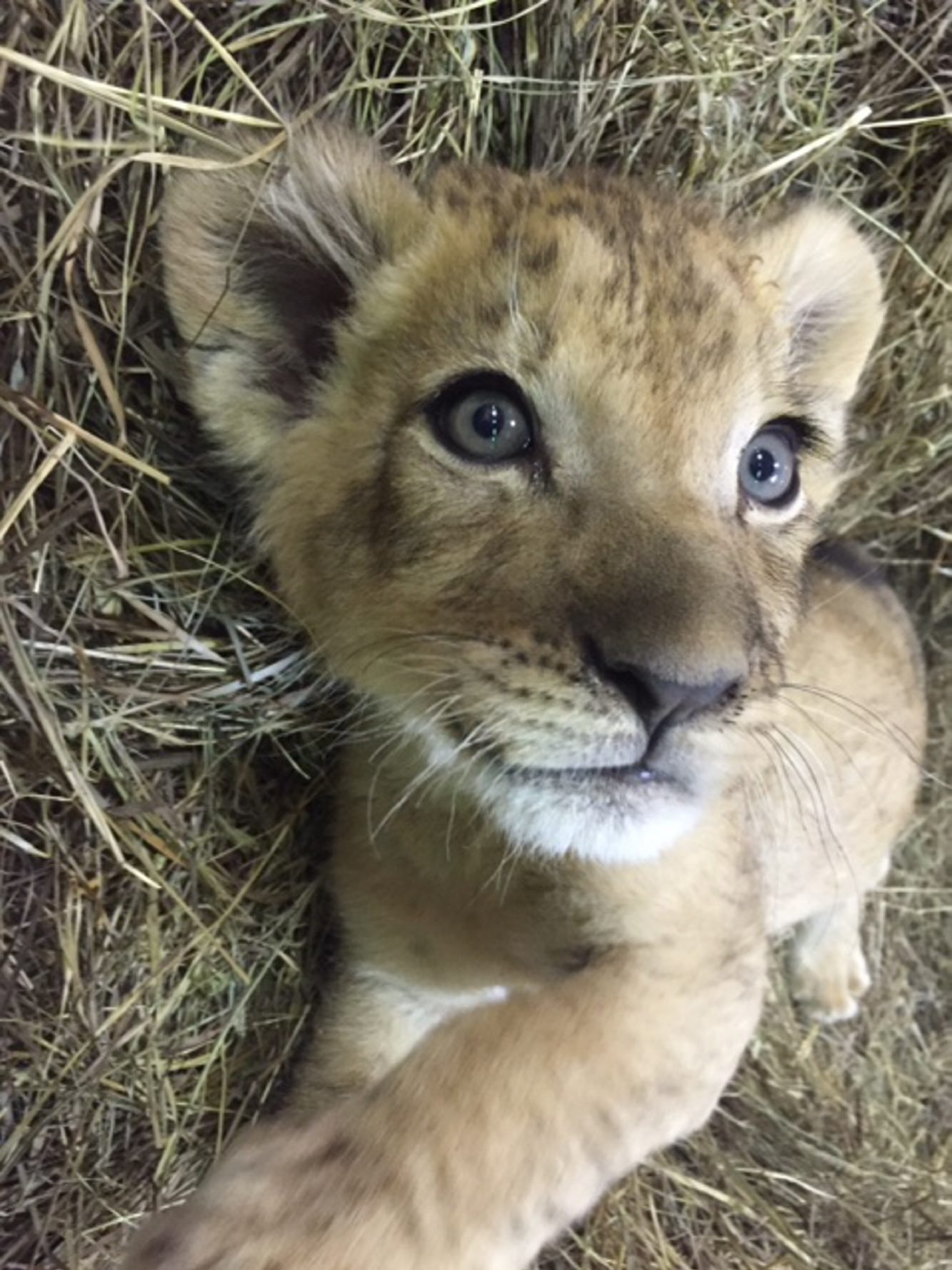 Three-month-old lion cub at Buffalo Zoo gets his name. (Photo courtesy Buffalo Zoo)