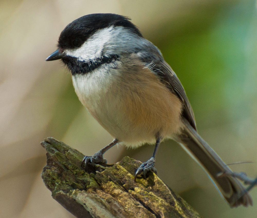 One pair of chickadees was observed delivering a caterpillar to the nest every three minutes.