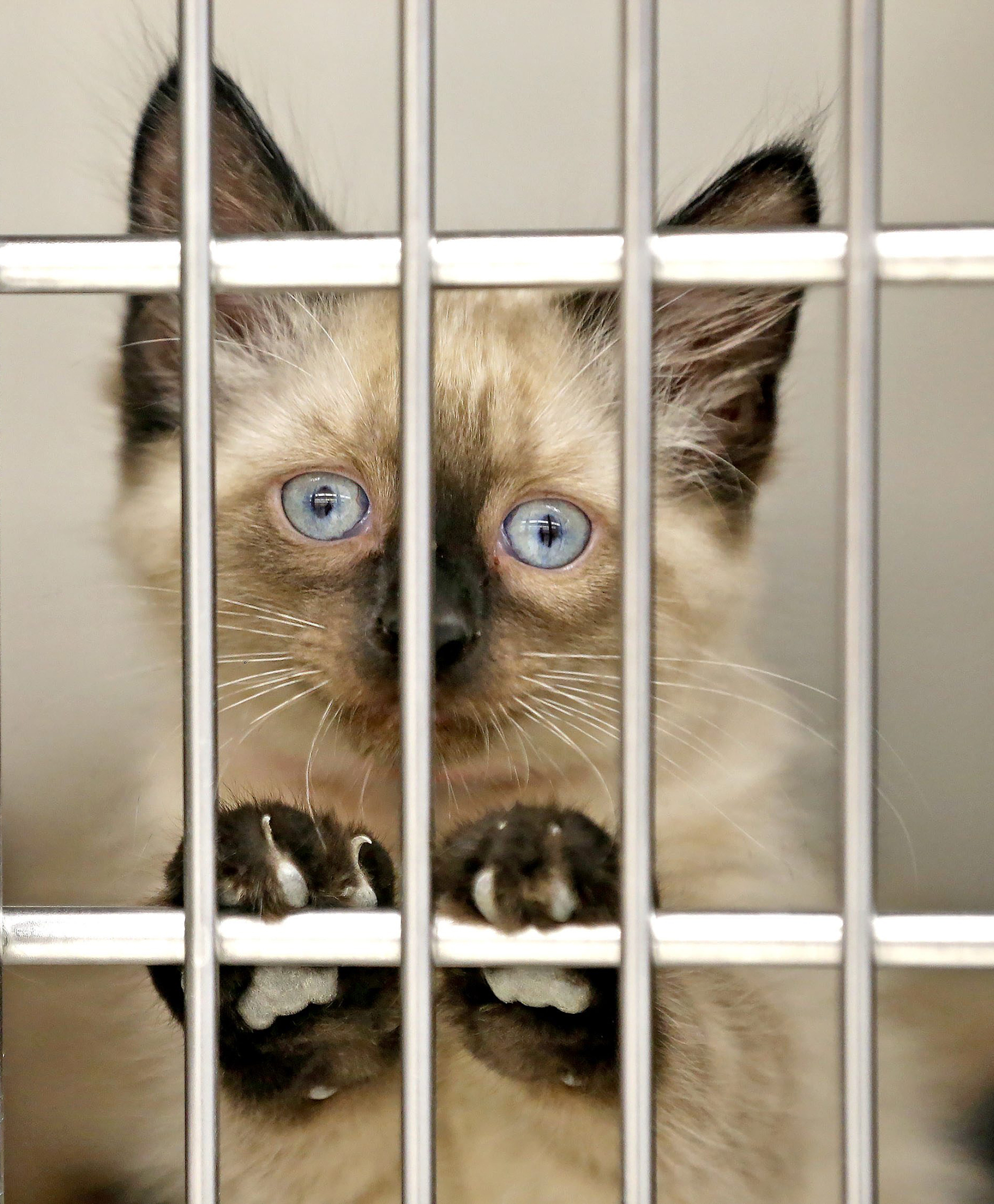 A two month old siamese mixed stray found near the Broadway Market in Buffalo peers through the bars of its cage at the Erie County SPCA on Ensminger Rd in Tonawanda on Wednesday, June 1, 2016.  (Robert Kirkham/Buffalo News)