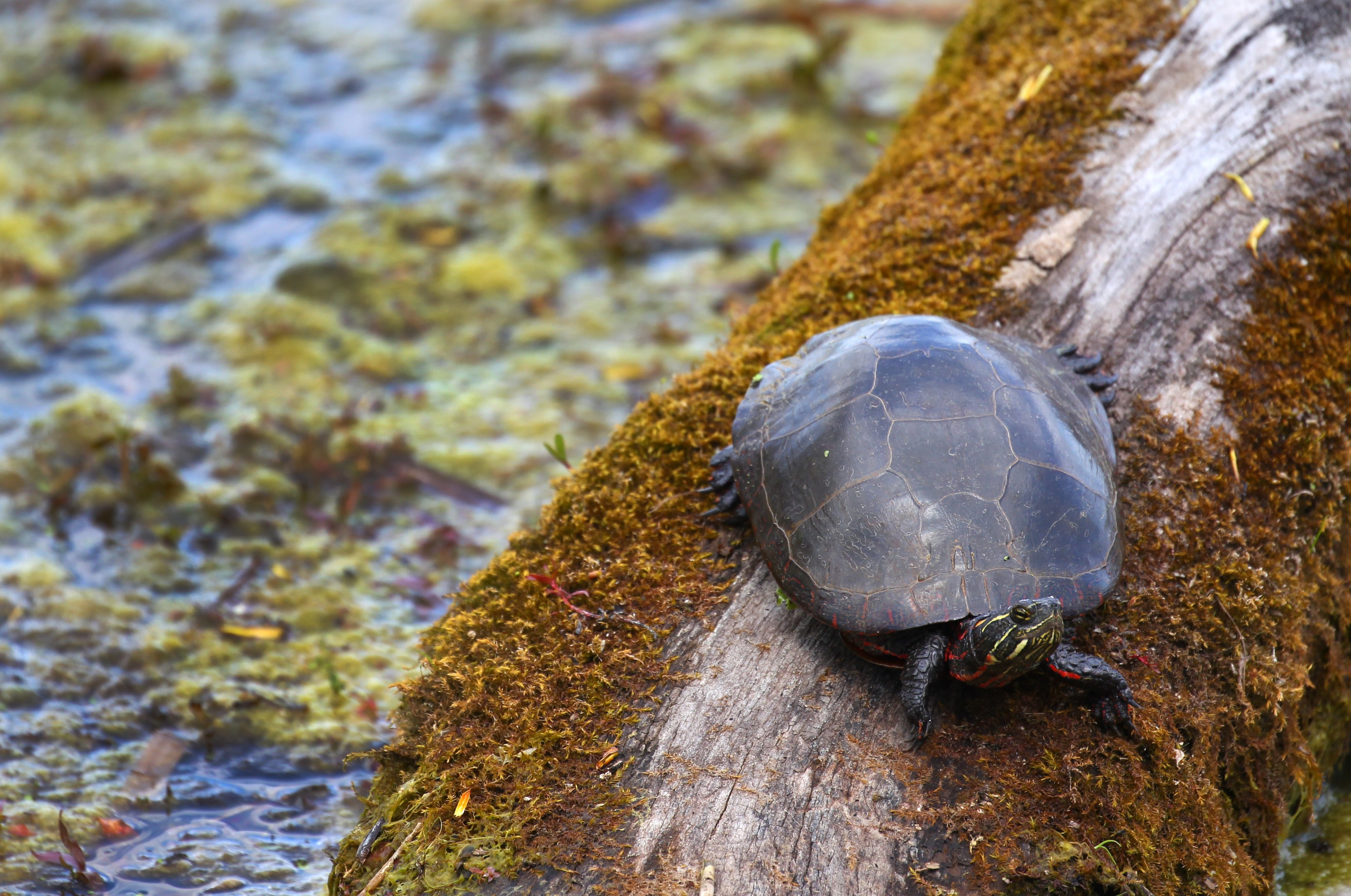 A turtle rests on a log at Tifft Nature Preserve.