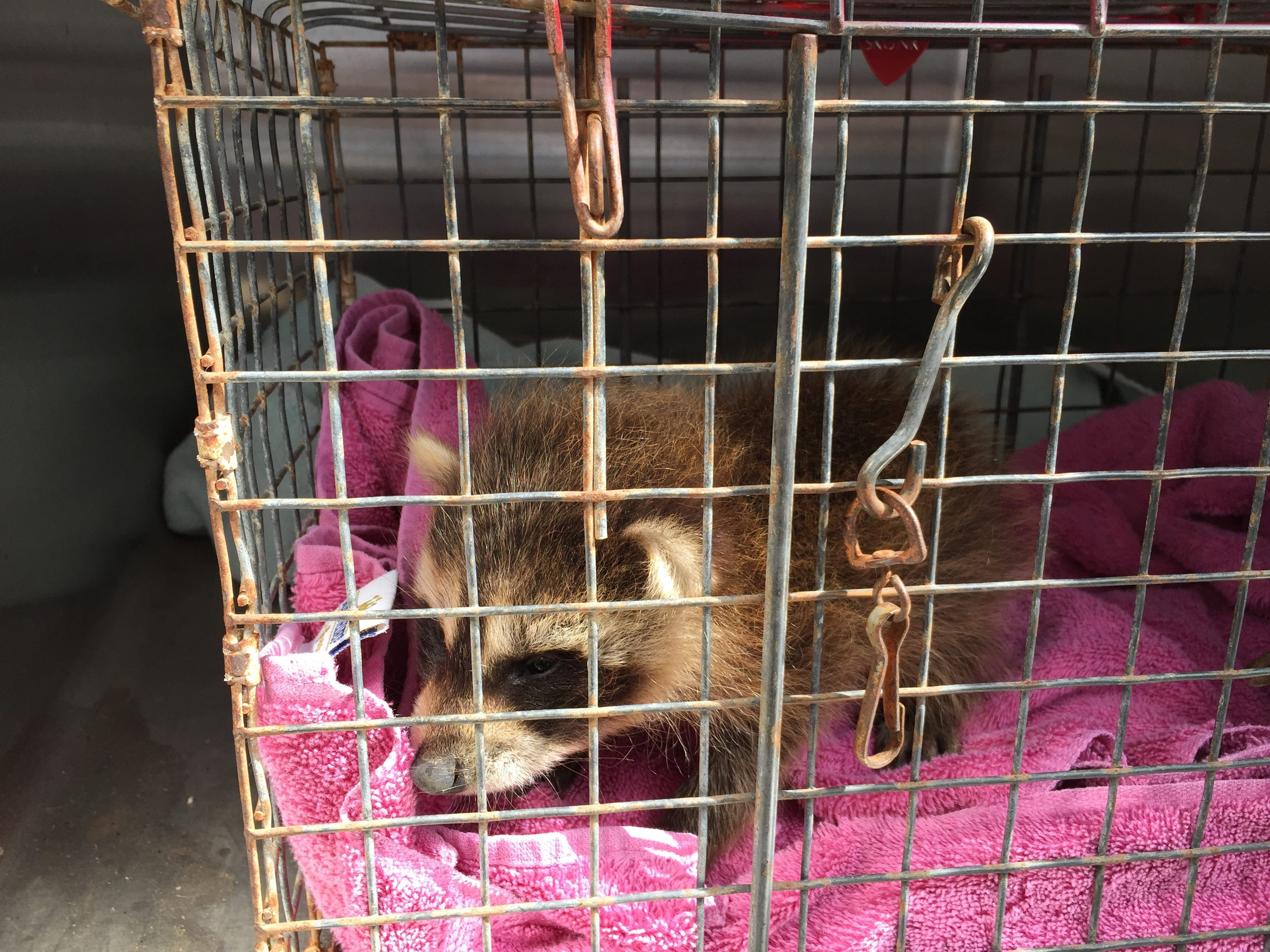 Abandoned and sick raccoons in Erie County, like this young one found last month, cannot be treated locally because they are considered a major rabies carrier species. No one in Erie County has the specialized wildlife rehabilitation certification to treat them.